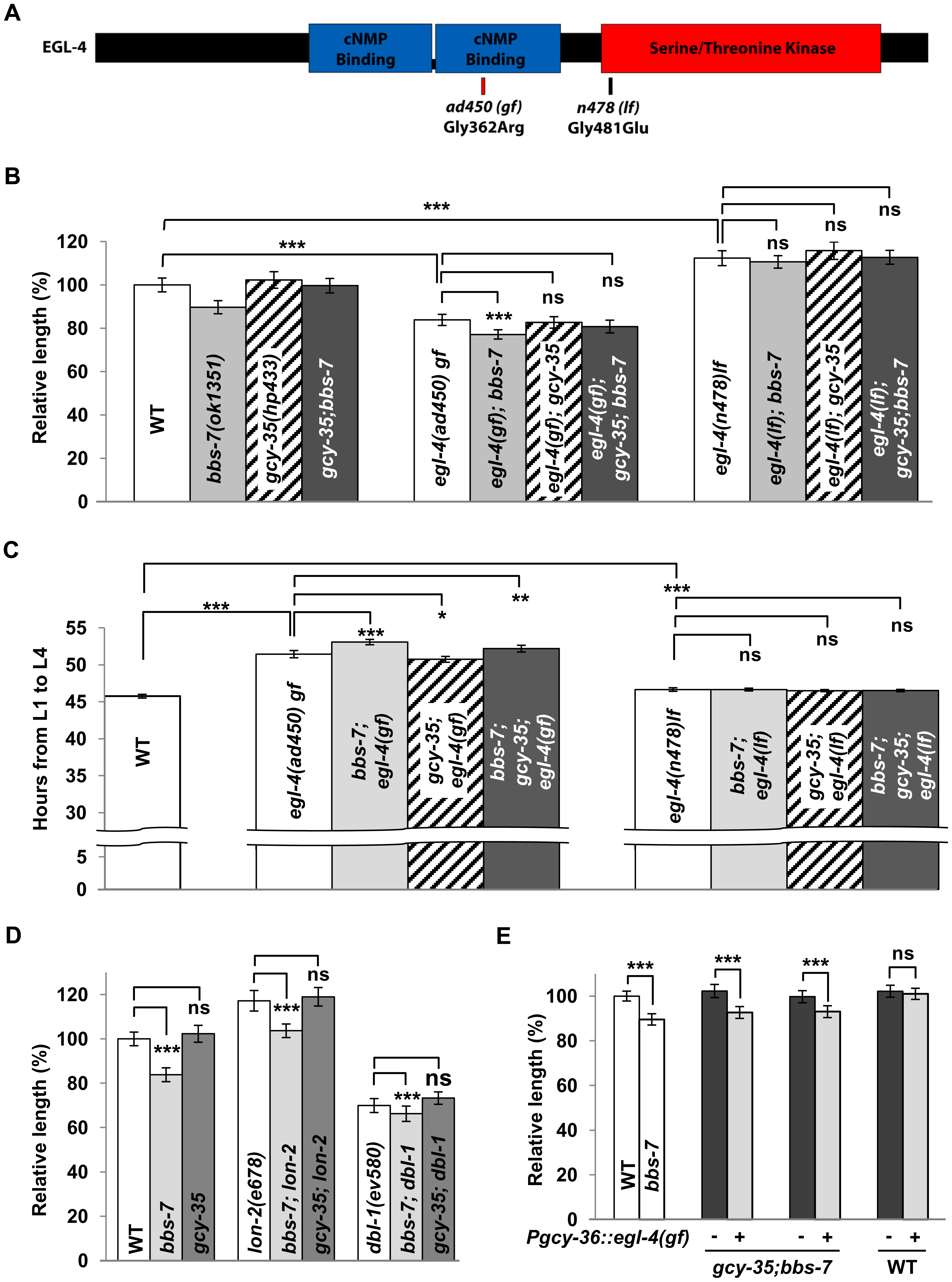 EGL-4 is an effector of GCY-35/GCY-36 in influencing body length and developmental timing.