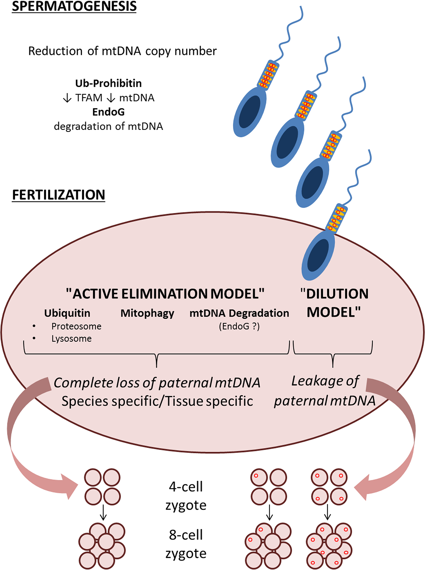 "Schematic representation of the two models, ""active elimination"" and ""dilution"" of paternal mtDNA haplotypes, with multiple possible steps that ensure avoidance of paternal mtDNA inheritance."