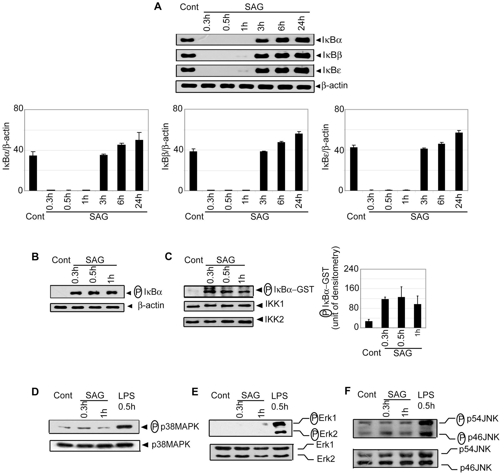 SAG-treated BMDCs exhibit increased phosphorylation and degradation of IκB proteins and IKK activity.