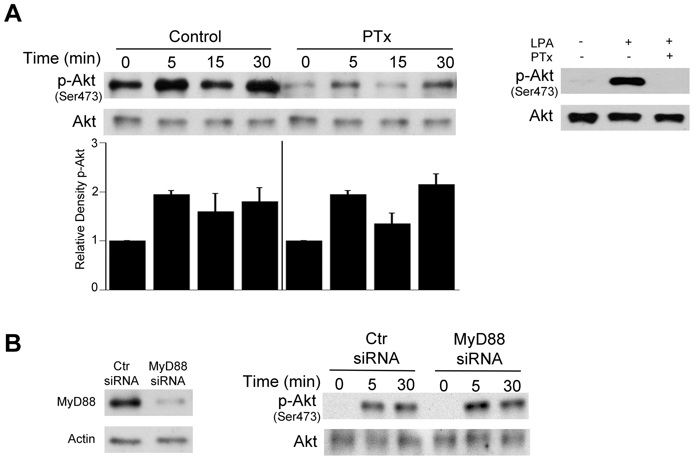 Role of G protein coupled receptors and MyD88 in <i>T. gondii</i>-induced Akt phosphorylation.