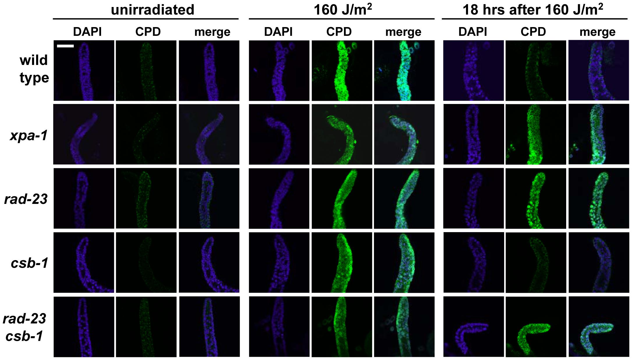 CPD repair in <i>C. elegans</i> germ cells.