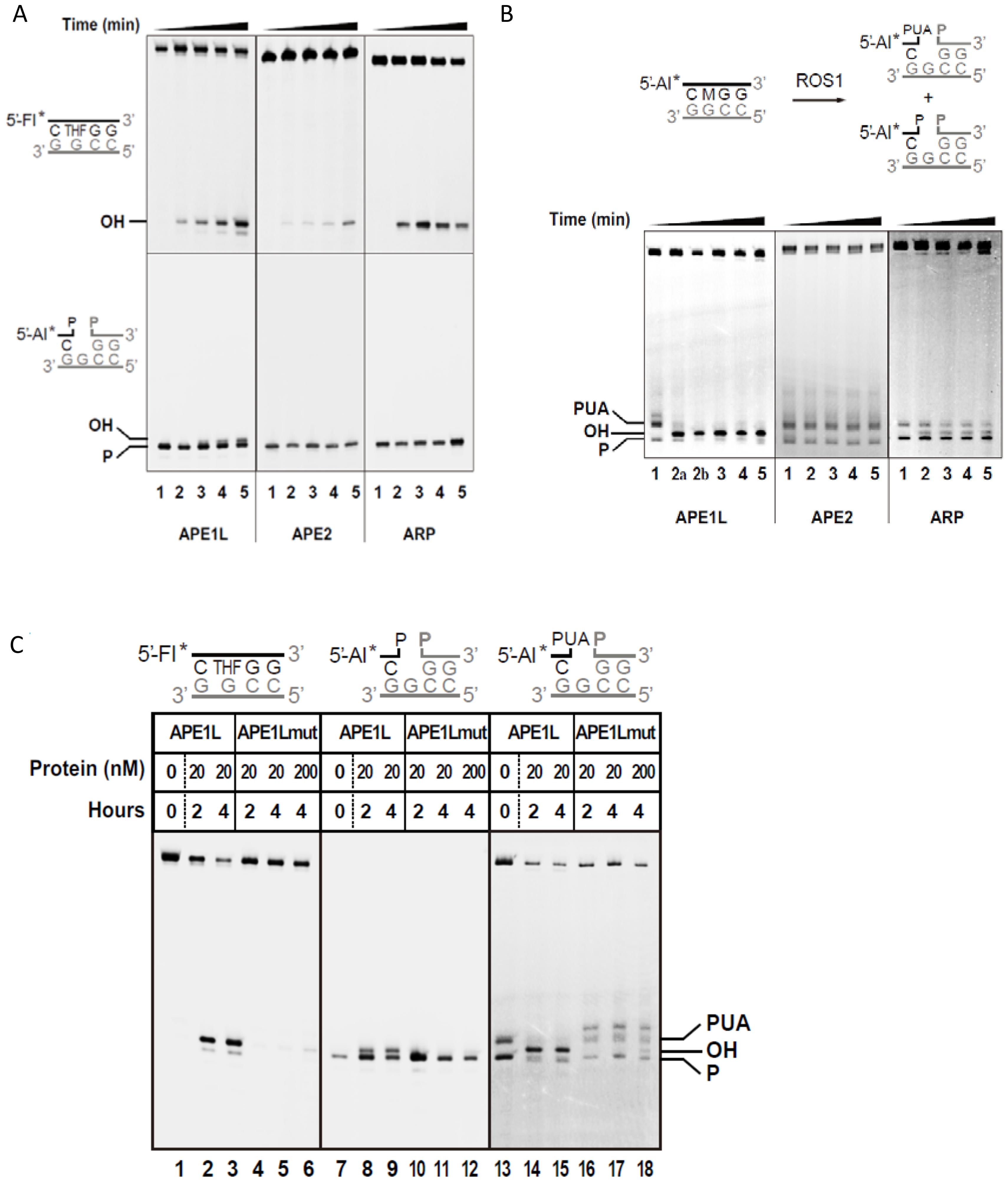 DNA repair activities of APE1L, APE2 and ARP.