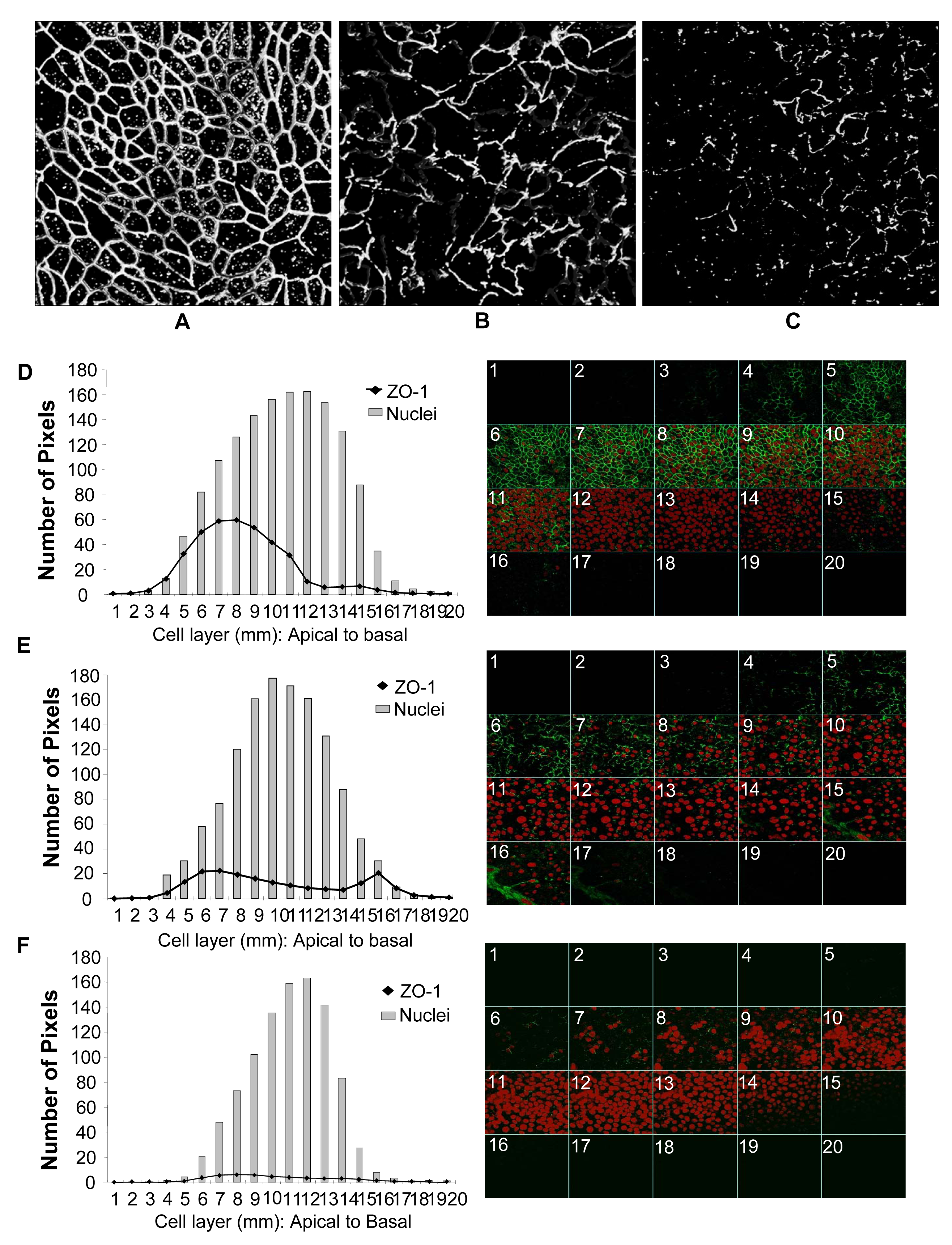 Genital EC monolayers were fixed after 4 or 24 hours post-HIV-1 exposure and stained for ZO-1 (green) and nucleus (red).
