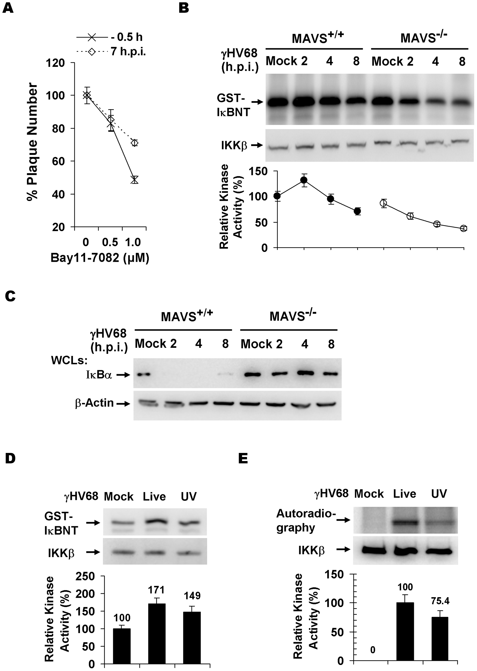 γHV68 infection activates IKKβ in a MAVS-dependent manner.