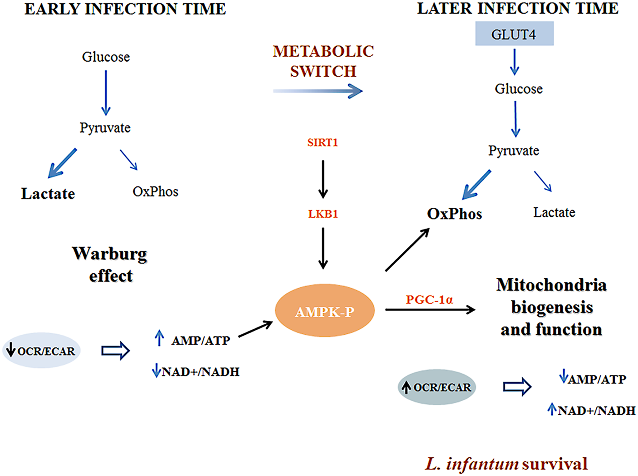 Representative scheme of the proposed model by which <i>Leishmania infantum</i> modulates host macrophage mitochondrial metabolism.