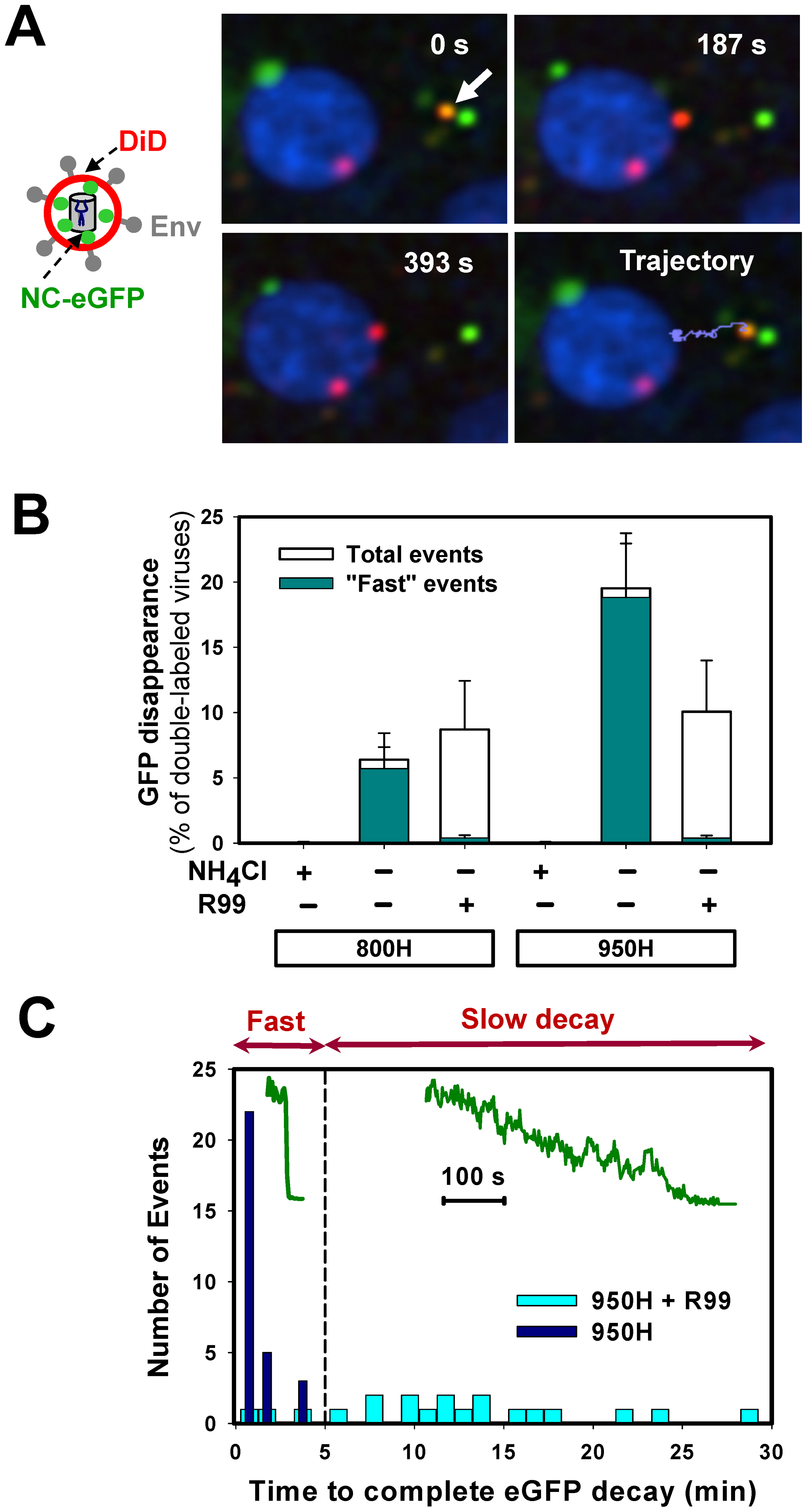 Detection of fusion between single EnvA-pseudotyped viruses and endosomal membranes.