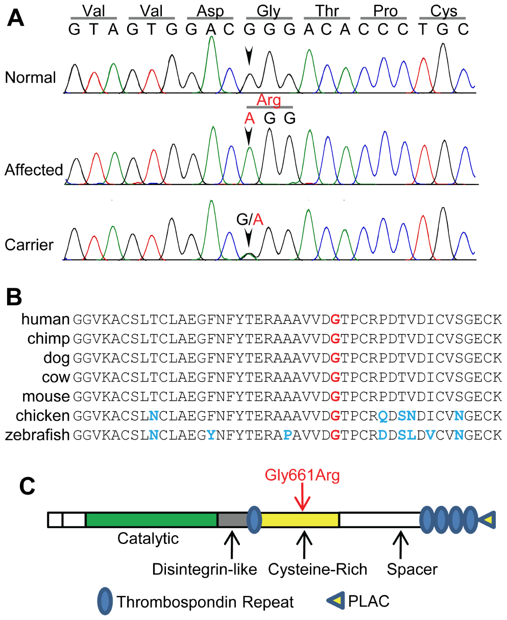 The 56097365 G-&gt;A variant is within a highly conserved region of <i>ADAMTS10</i>.