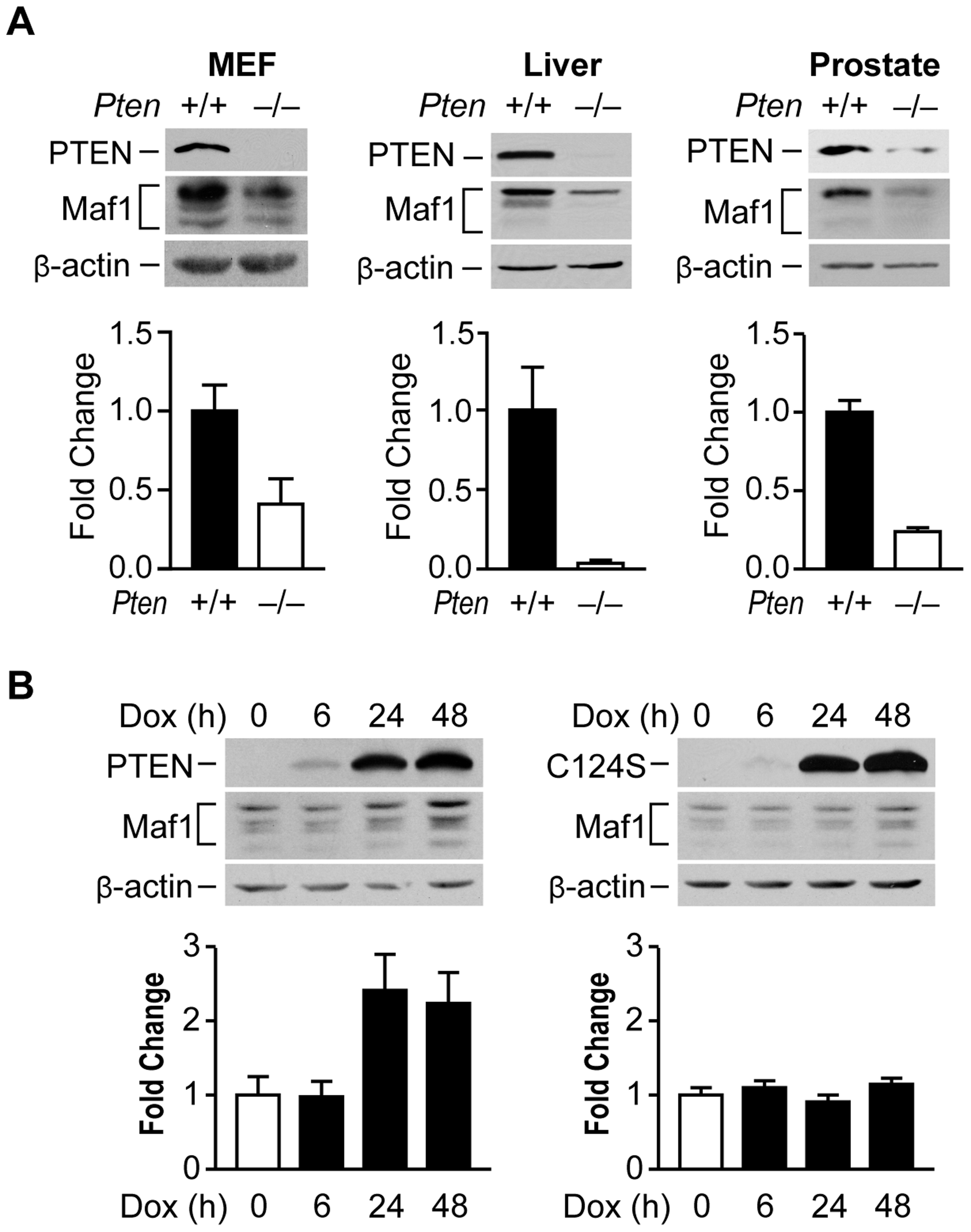 PTEN regulates Maf1 protein expression.