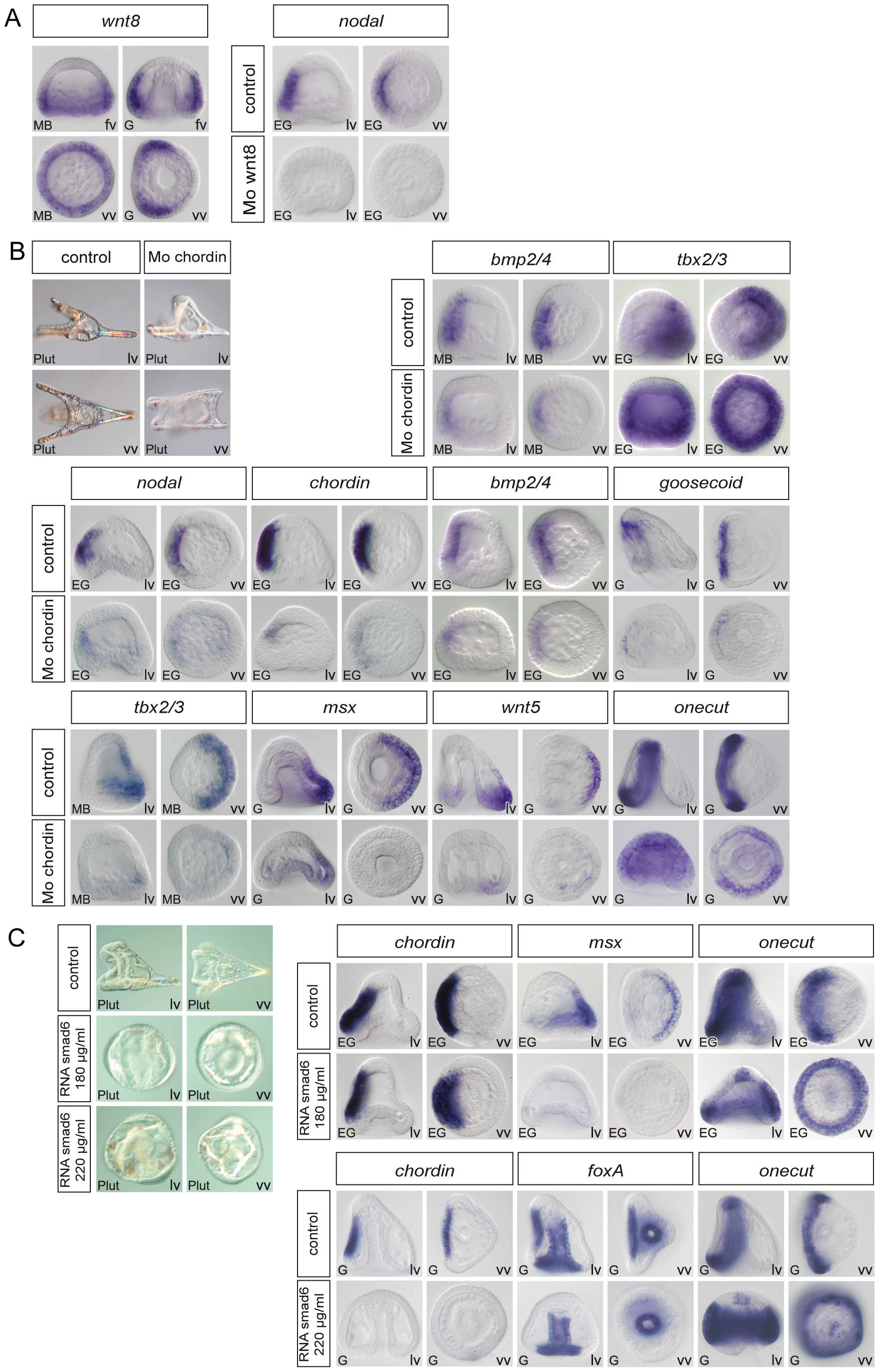 Regulation of D/V patterning by extracellular and intracellular modulators of Nodal and BMP signaling.