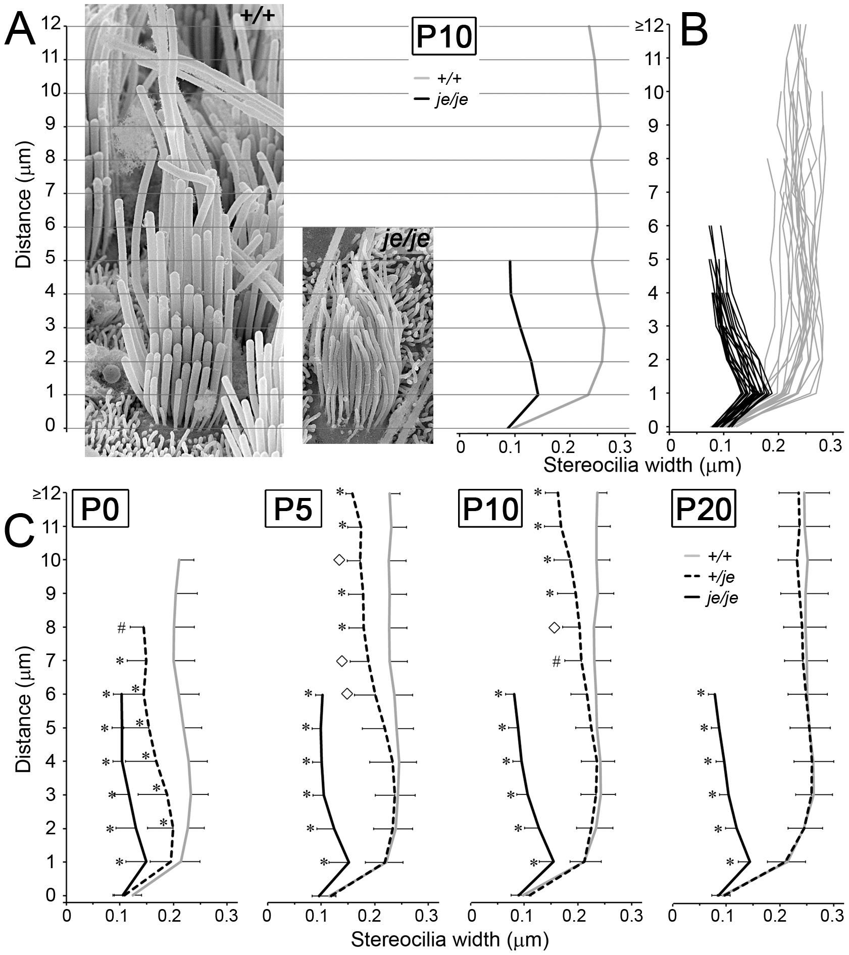 Stereociliary width measurements for extrastriolar vestibular hair cells in postnatal <i>+/+</i>, <i>+/je</i>, and <i>je/je</i> mice.