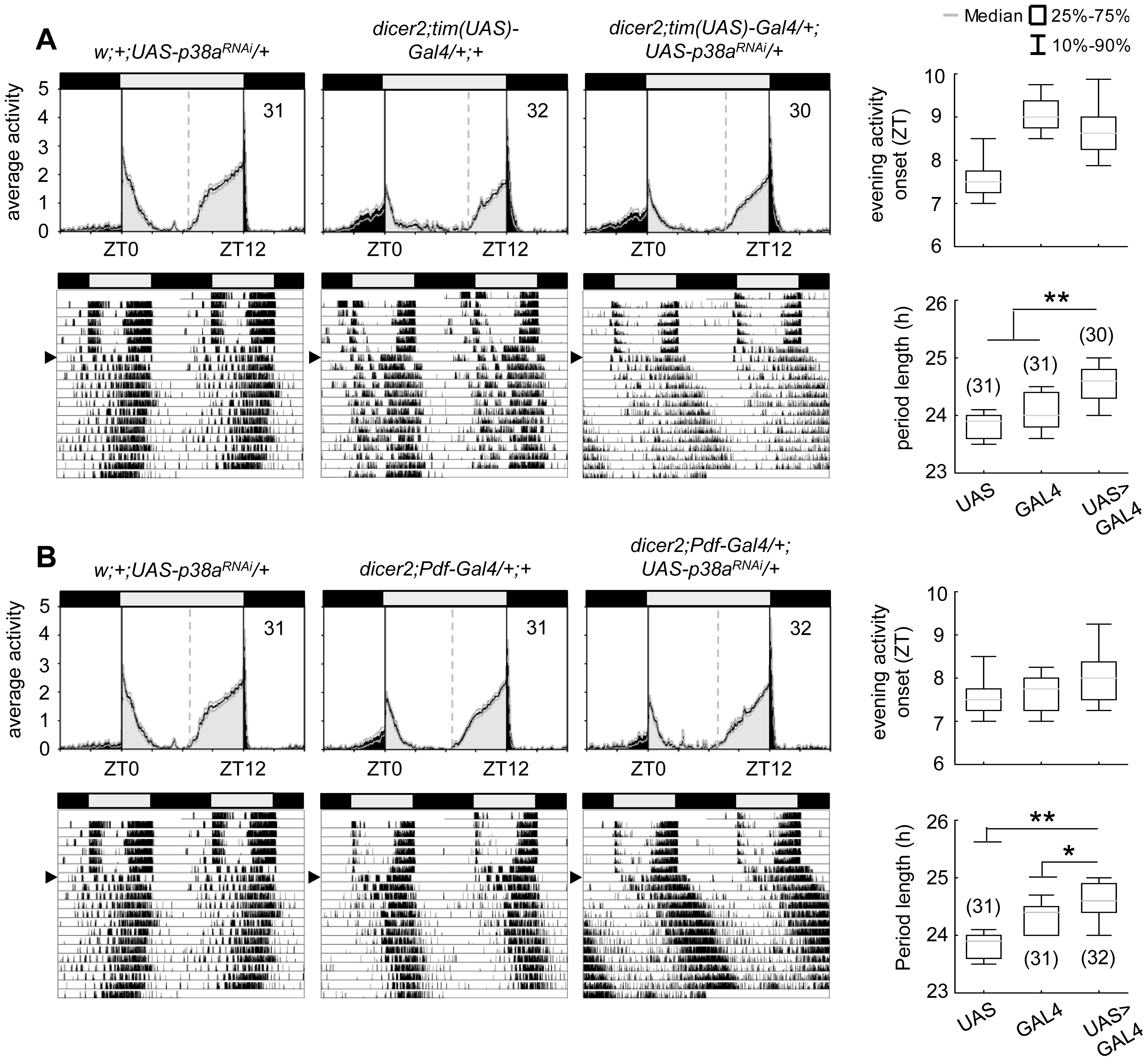 Locomotor activity rhythms of p38a knockdown flies and respective controls.