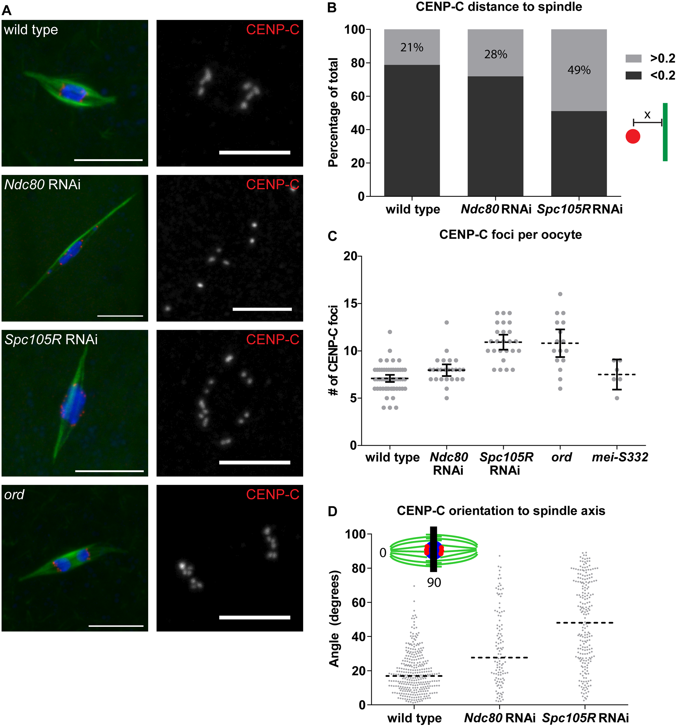 Chromosome orientation depends on the kinetochore in oocytes.