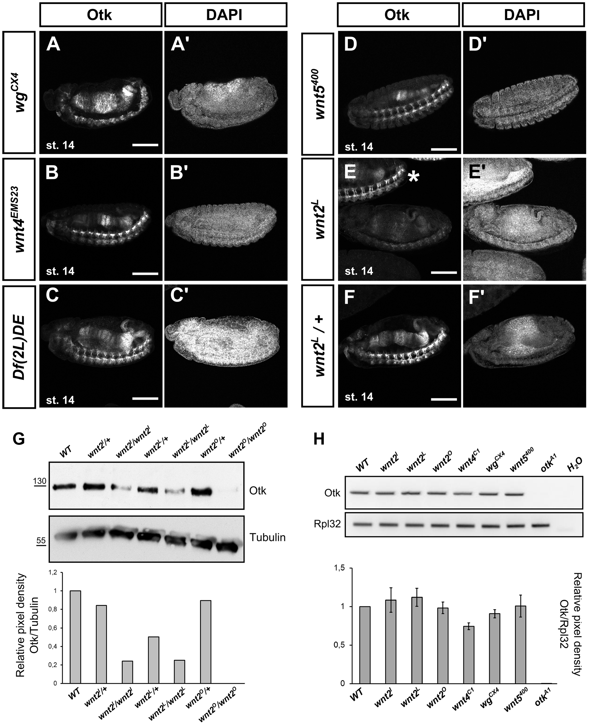 Localization of Otk in embryos homozygous mutant for different Wnt family members.