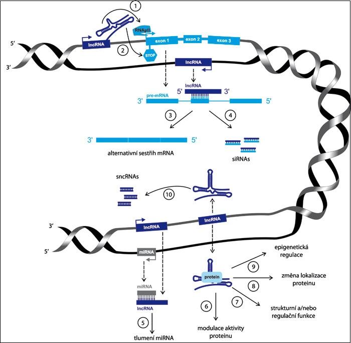Schematické znázornění funkce lncRNA.