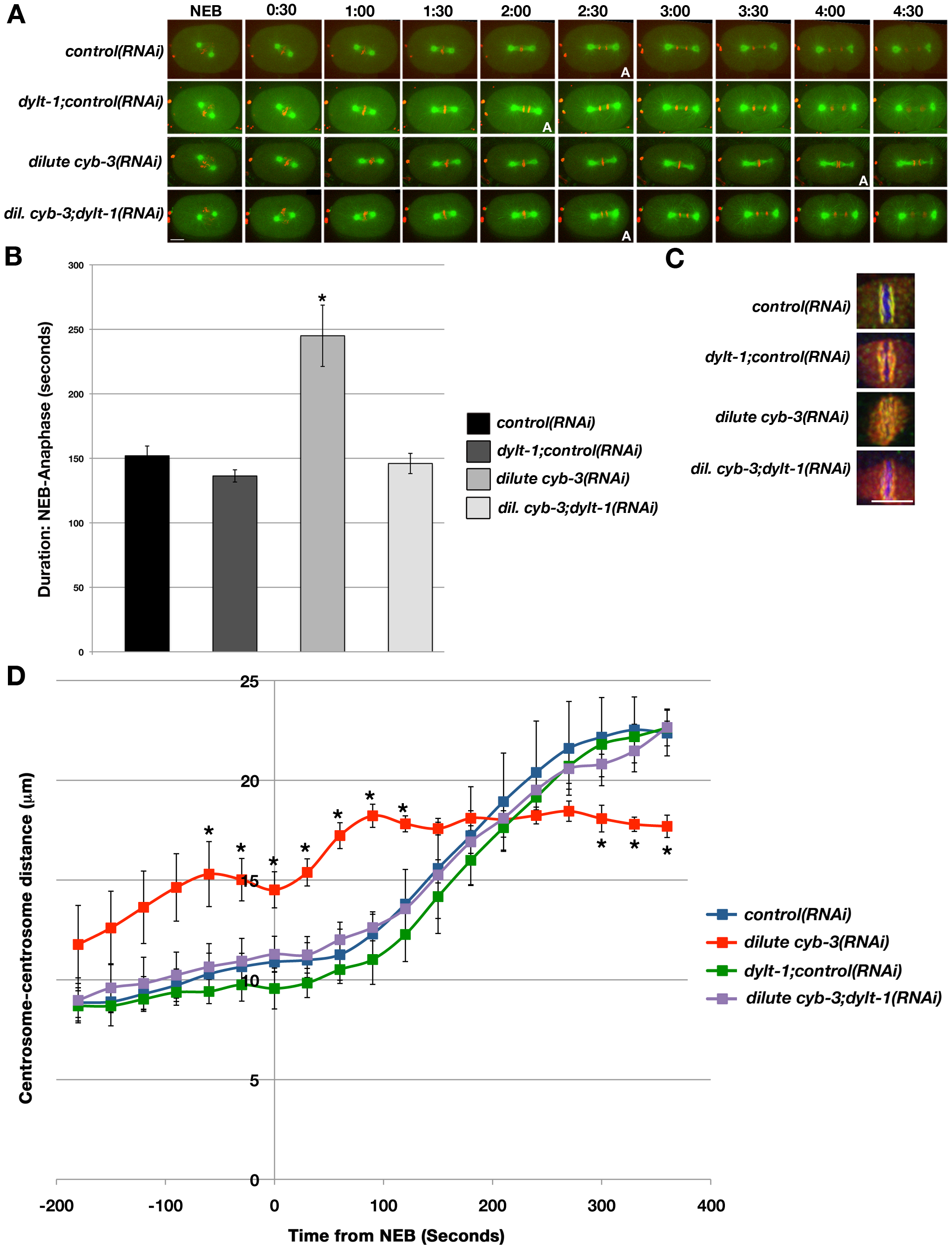 Modulation of dynein activity alters cell cycle progression and the rate of spindle pole separation in CYB-3–depleted embryos.