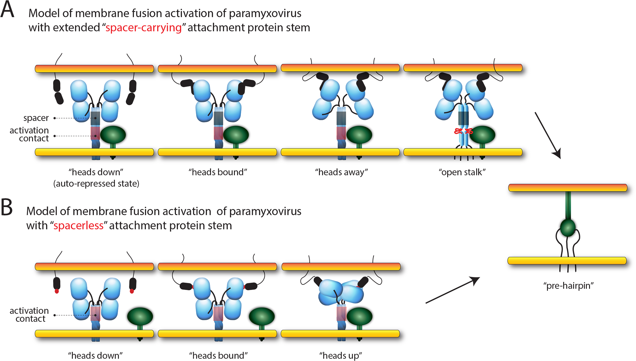 Models of paramyxovirus membrane fusion activation.