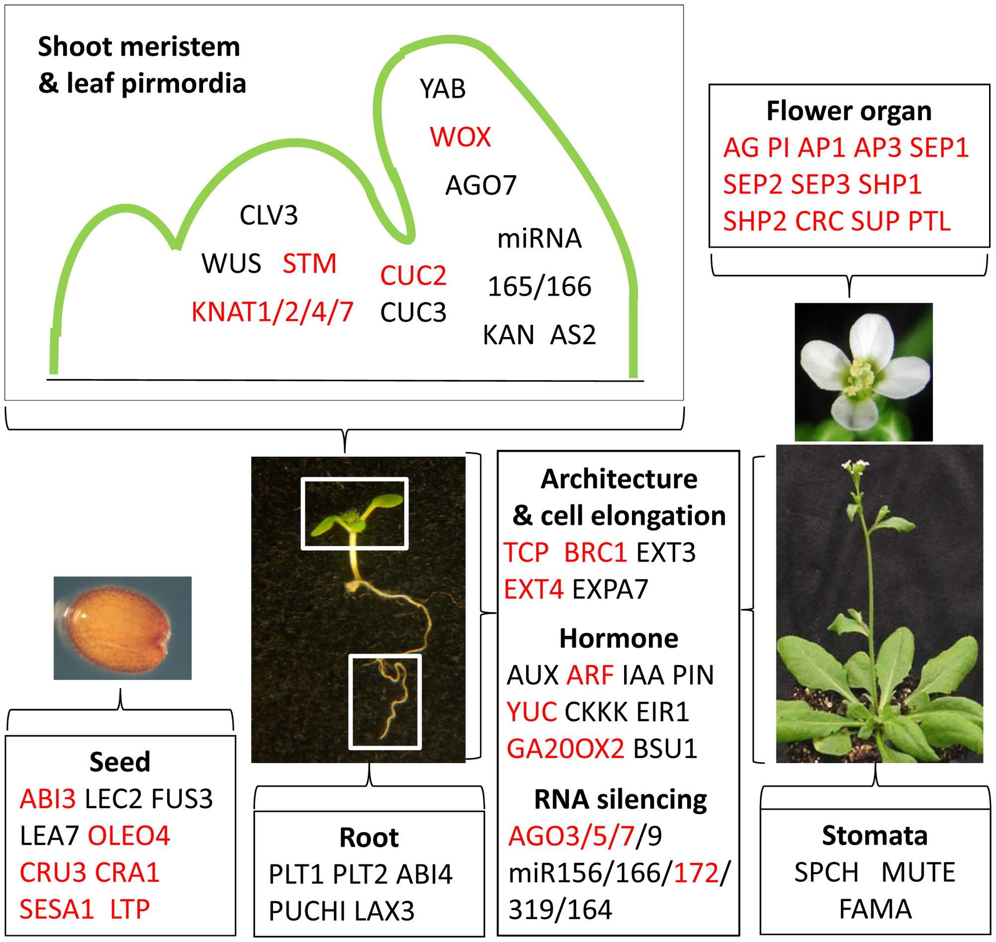 EMF1_K27 genes involved in Arabidopsis development.