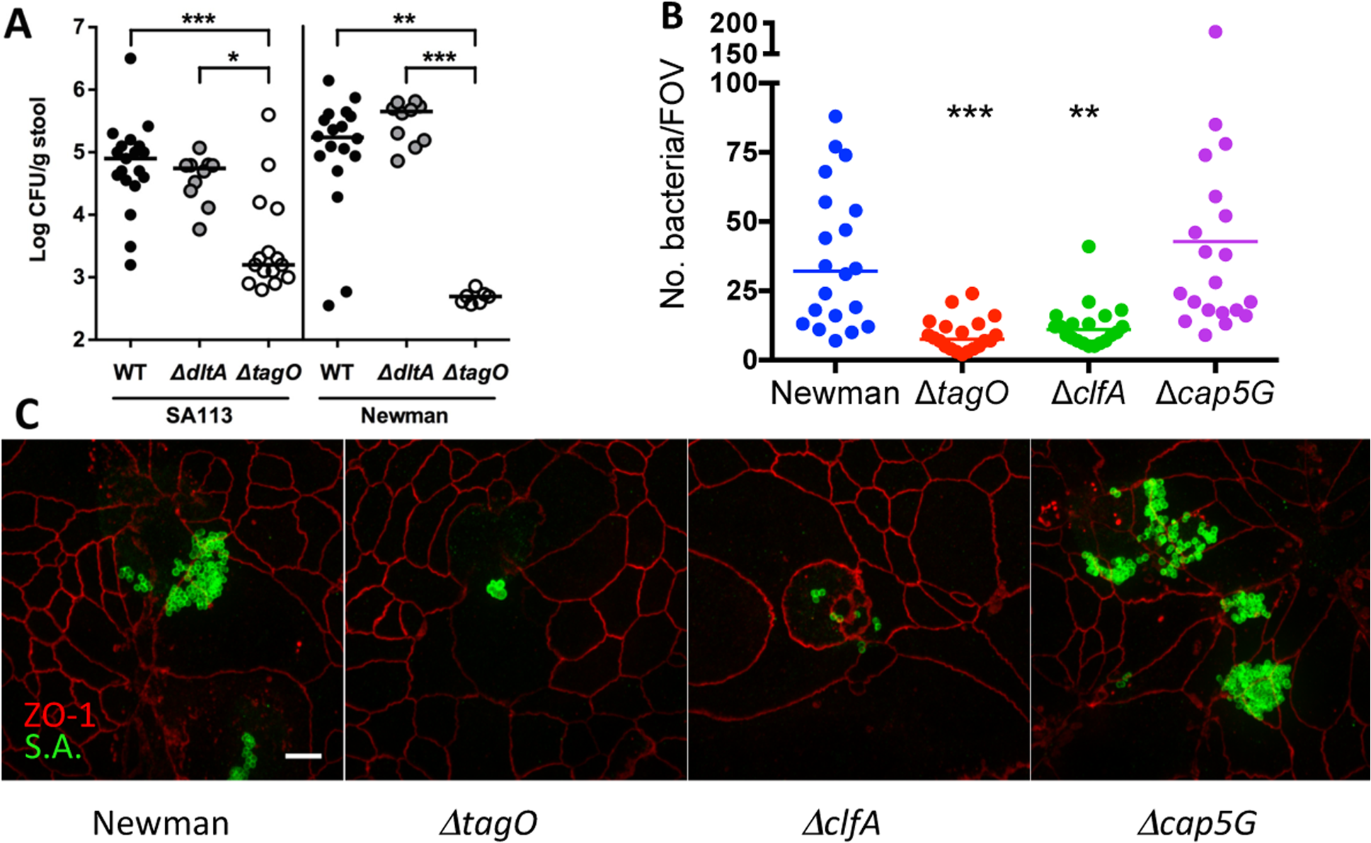 Effects of WTA on <i>S. aureus</i> GI colonization and the influence of surface antigens on in vitro adherence of <i>S. aureus</i> to T84 cells.