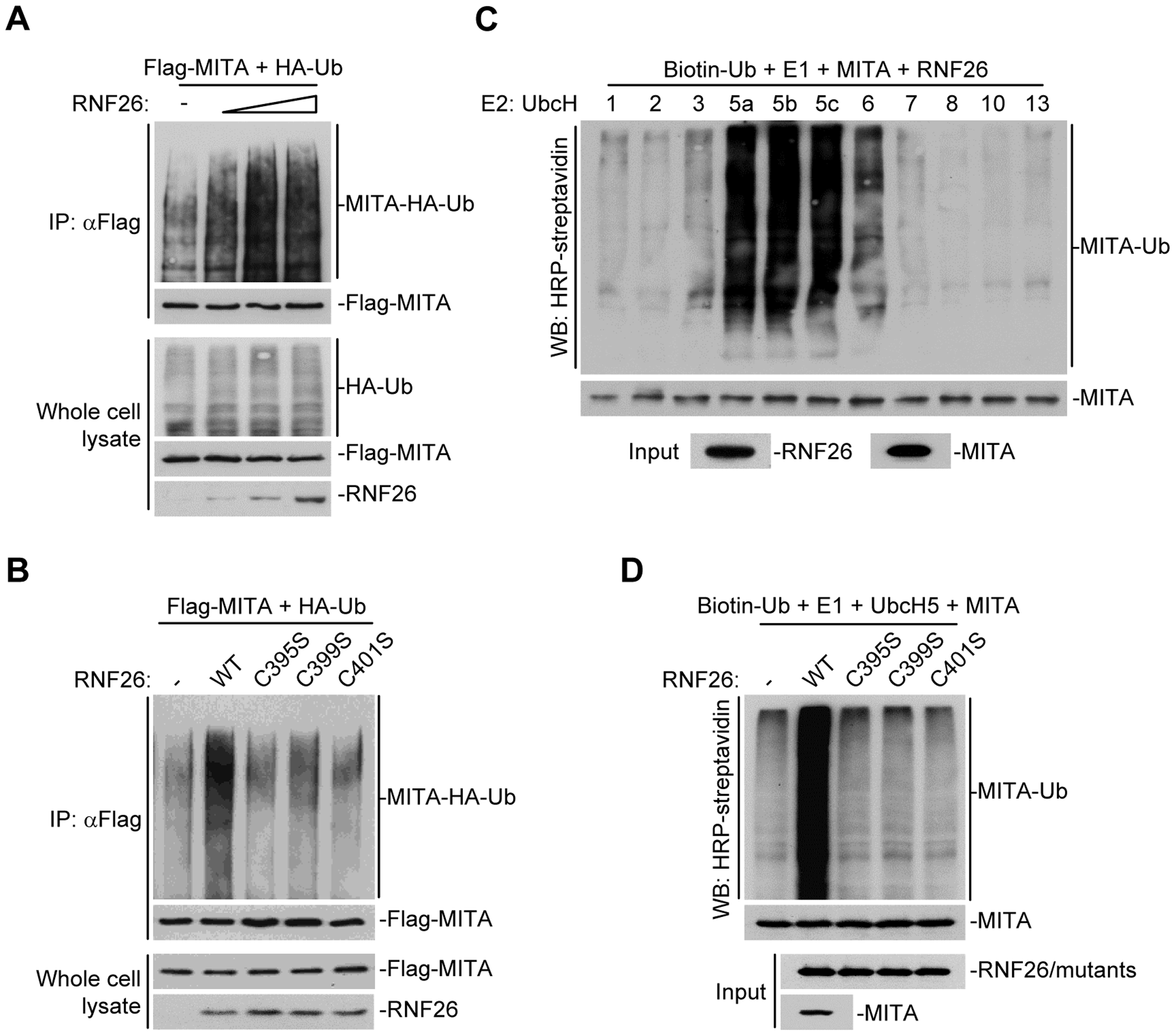 RNF26 is an E3 ubiquitin ligase for MITA.