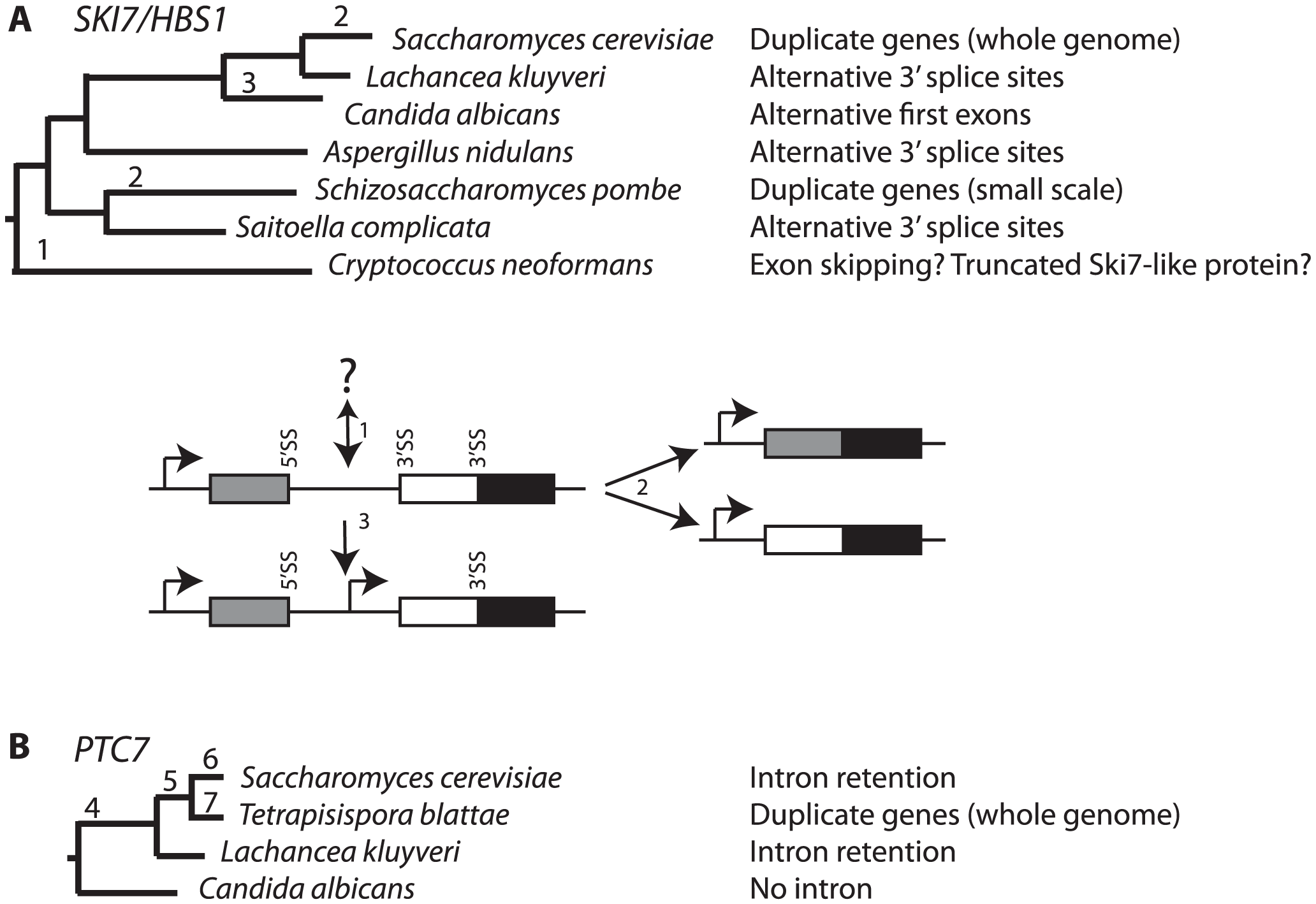 Changes in <i>SKI7</i>, <i>HBS1</i>, and <i>PTC7</i> gene structure during fungal diversification.