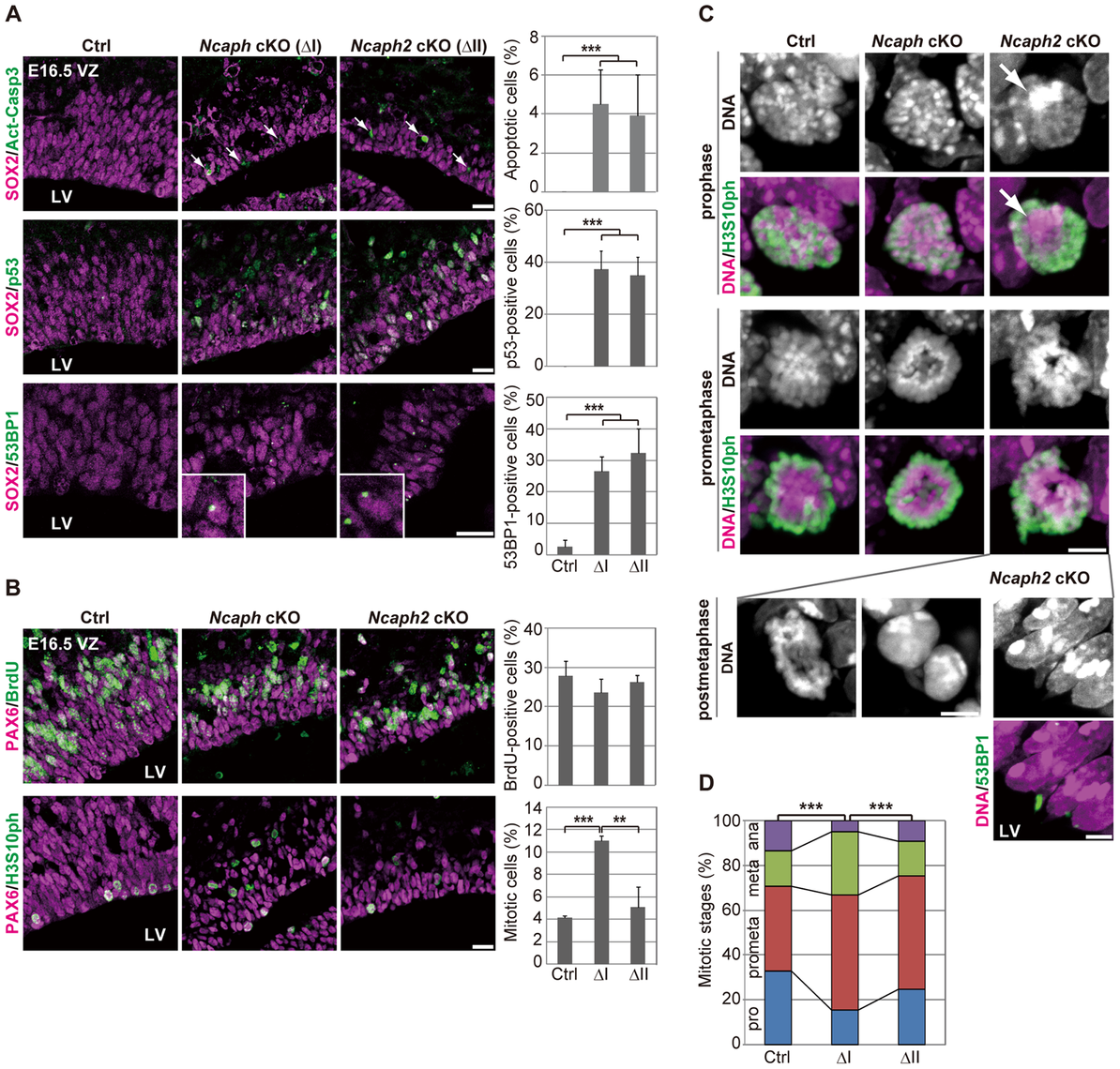 Condensins I and II differentially contribute to NSC divisions and survival.
