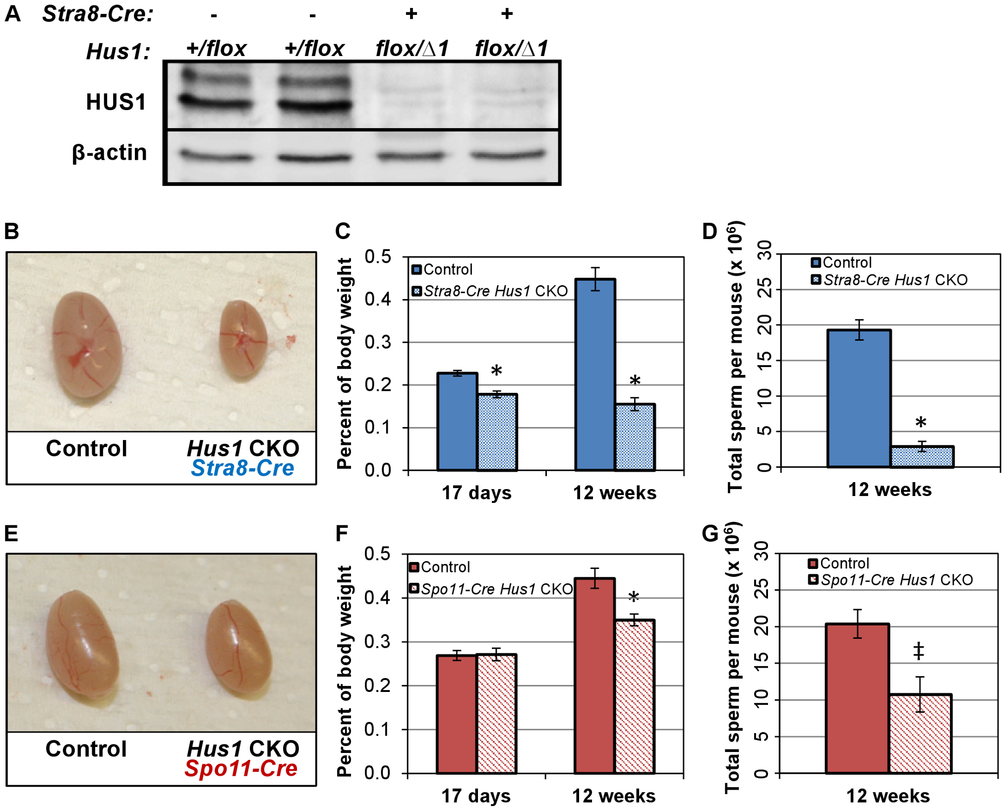 Conditional <i>Hus1</i> inactivation in the mouse testis results in reduced testis size and sperm count.
