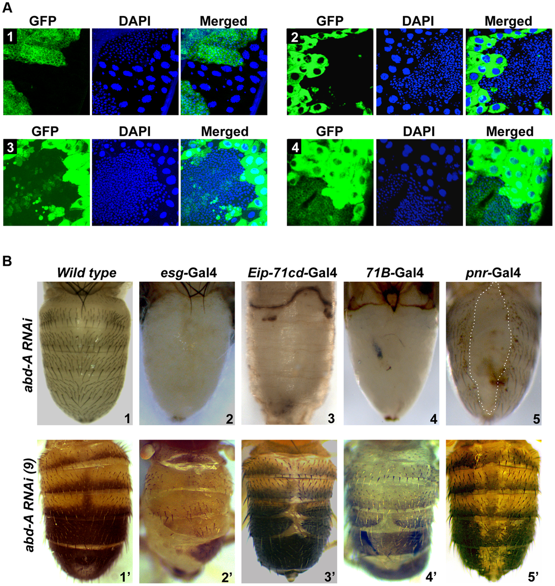 <i>abd-A</i> is required for abdominal epithelia development.