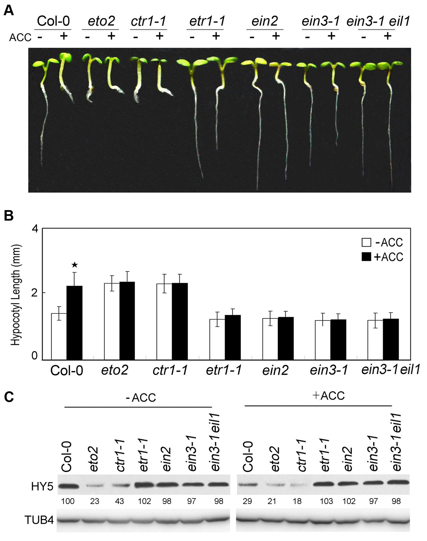 Ethylene signalling positively promotes hypocotyl growth and HY5 degradation.