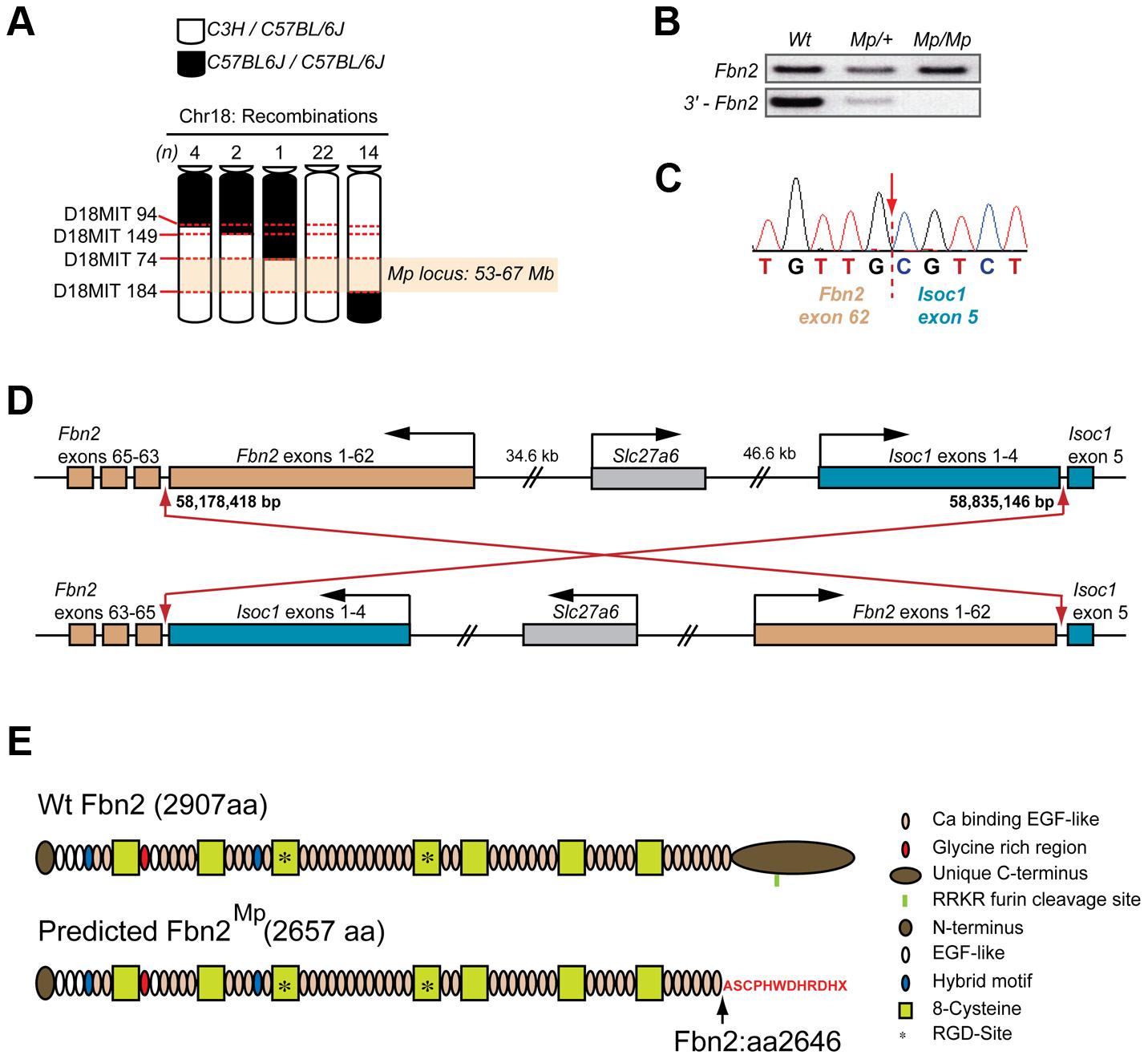 <i>Mp</i> mapped to a balanced 660 kb inversion on chromosome 18 disrupting <i>Fbn2</i> and <i>Isoc1</i>.