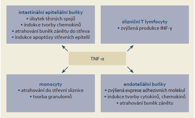 Prozánětlivé působení TNF-α u nemocných s IBD. Upraveno dle [33]. Fig. 1. Proinflammatory action of TNF-α in patients with IBD. Adapted from [33].
