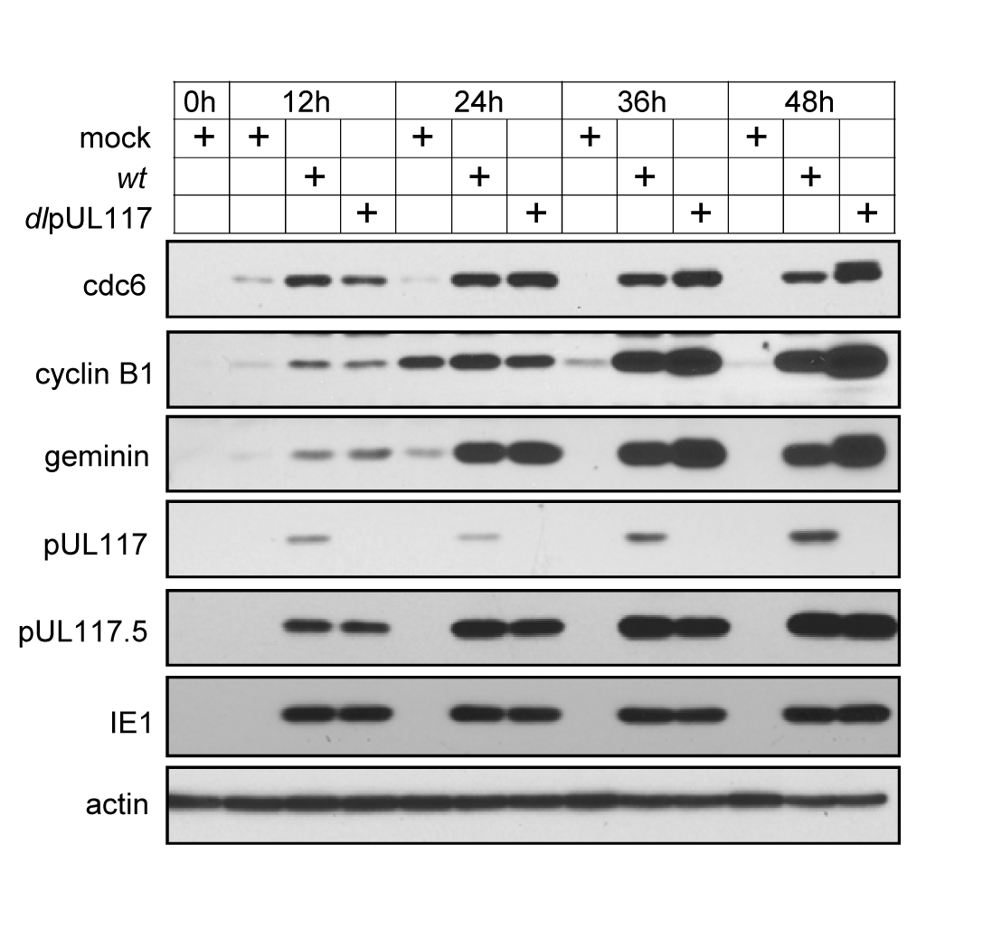 pUL117 was not required for premature accumulation of APC substrates in HCMV infection.