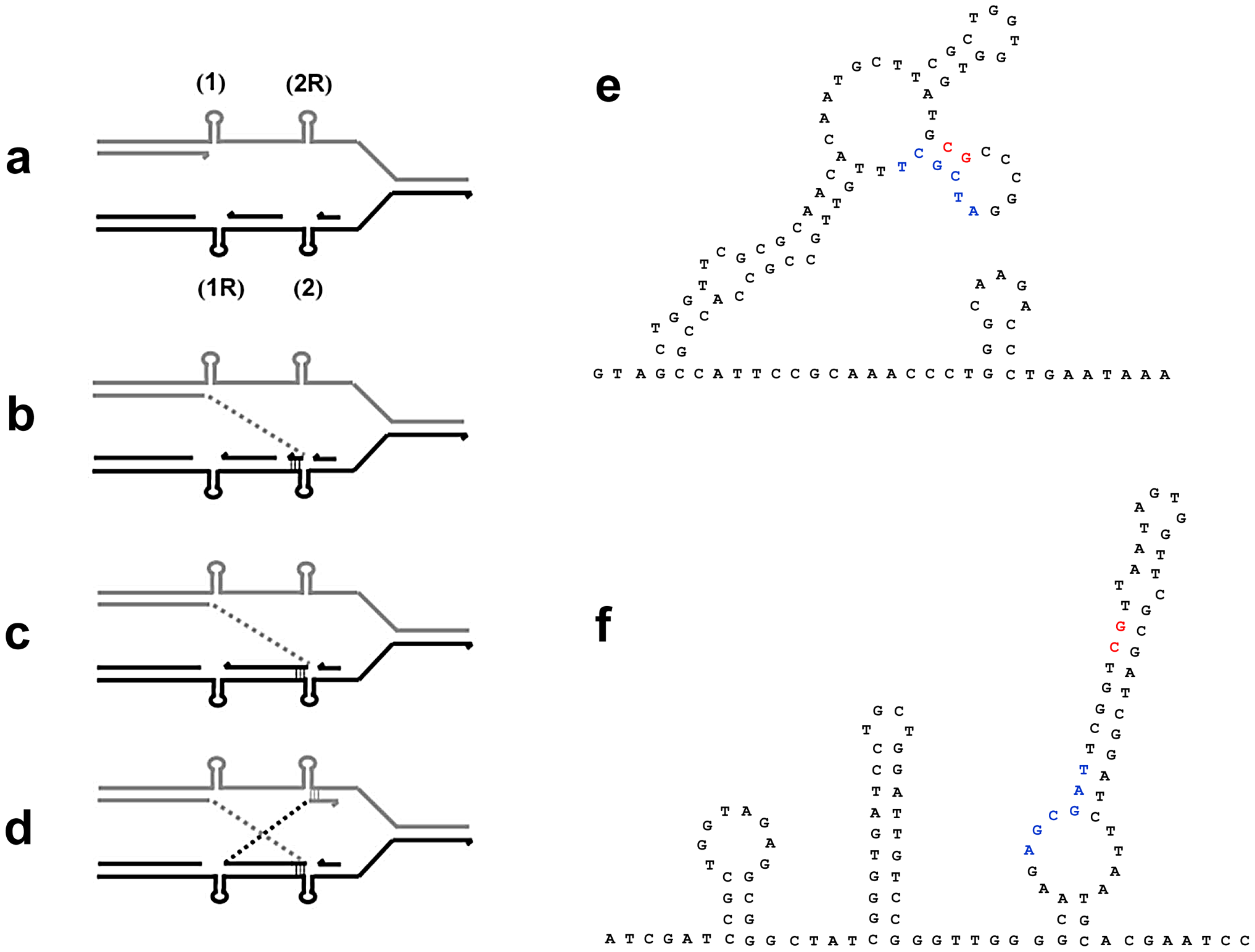 A model for inversion formation by template-switching giving non-homologous recombination in close to reciprocal positions.