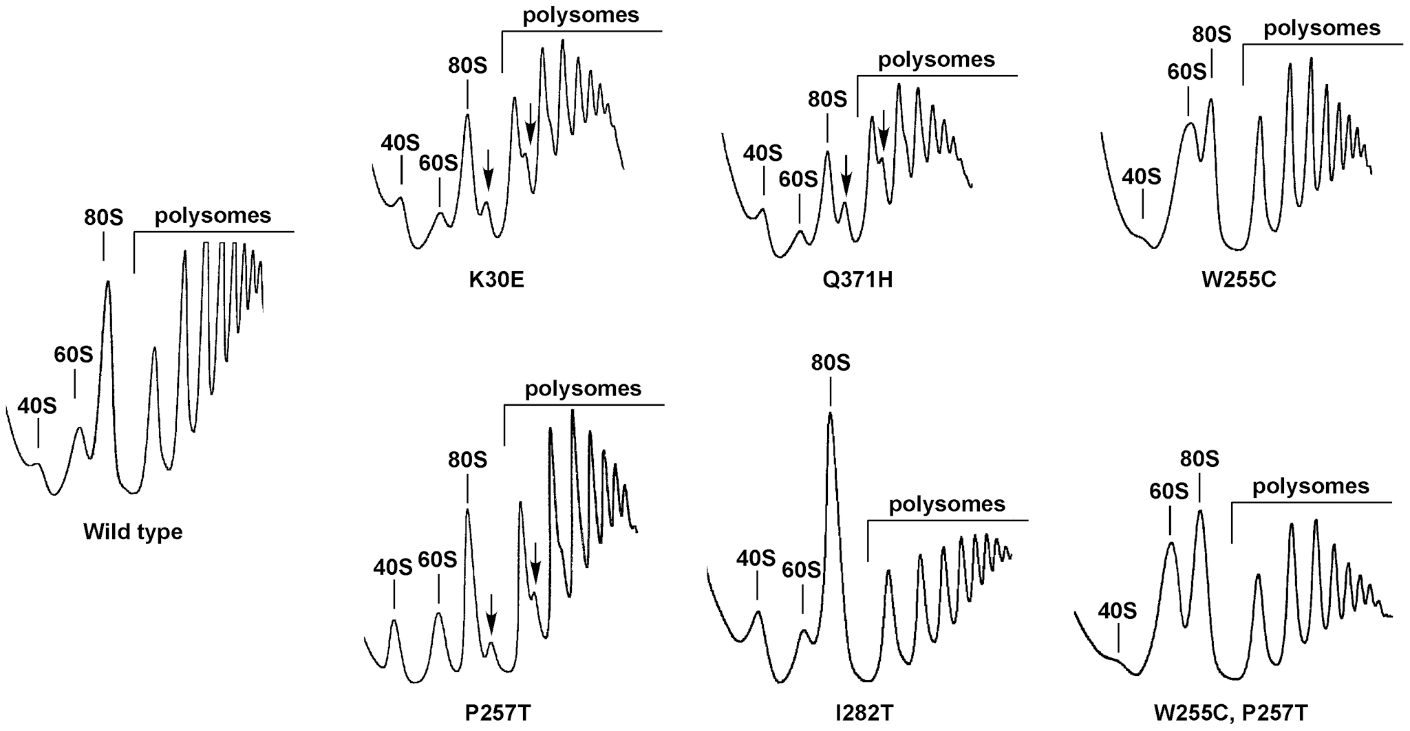 The <i>rpl3</i>[W255C] mutation results in a deficit in 40S ribosomal subunits.