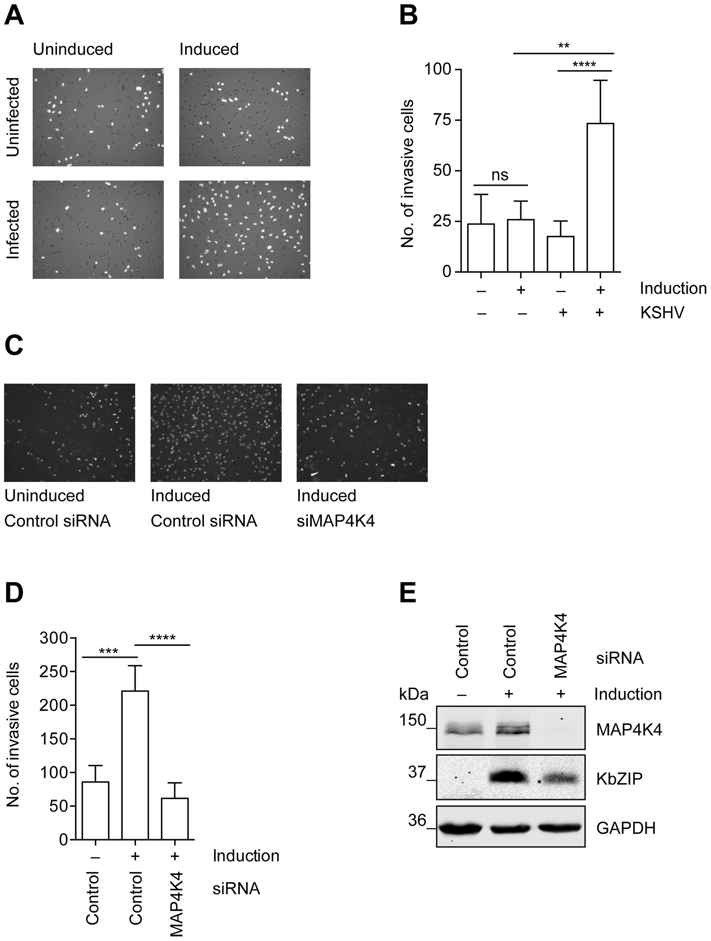 MAP4K4 is required for the increased invasiveness of KSHV-infected endothelial cells.