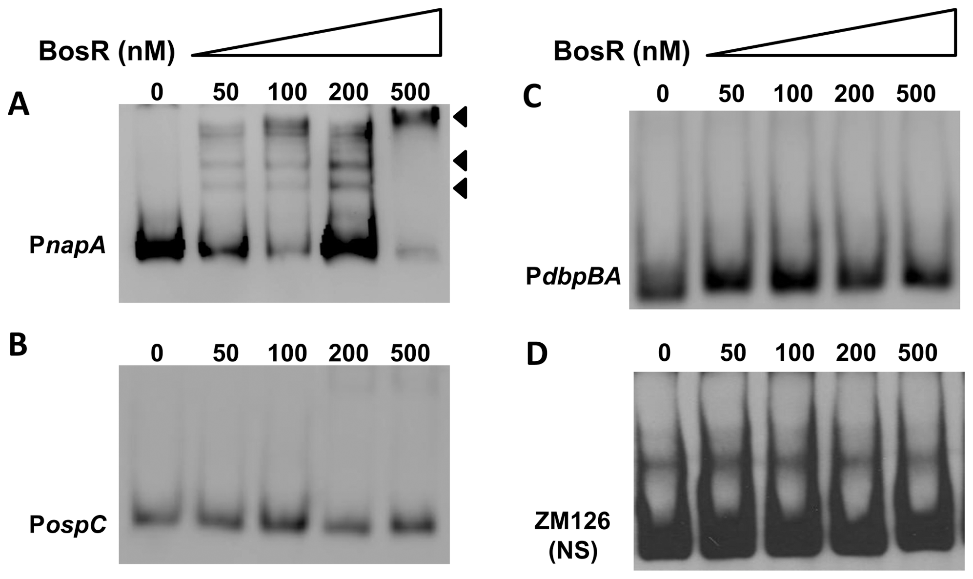 DNA-binding activity of recombinant BosR.