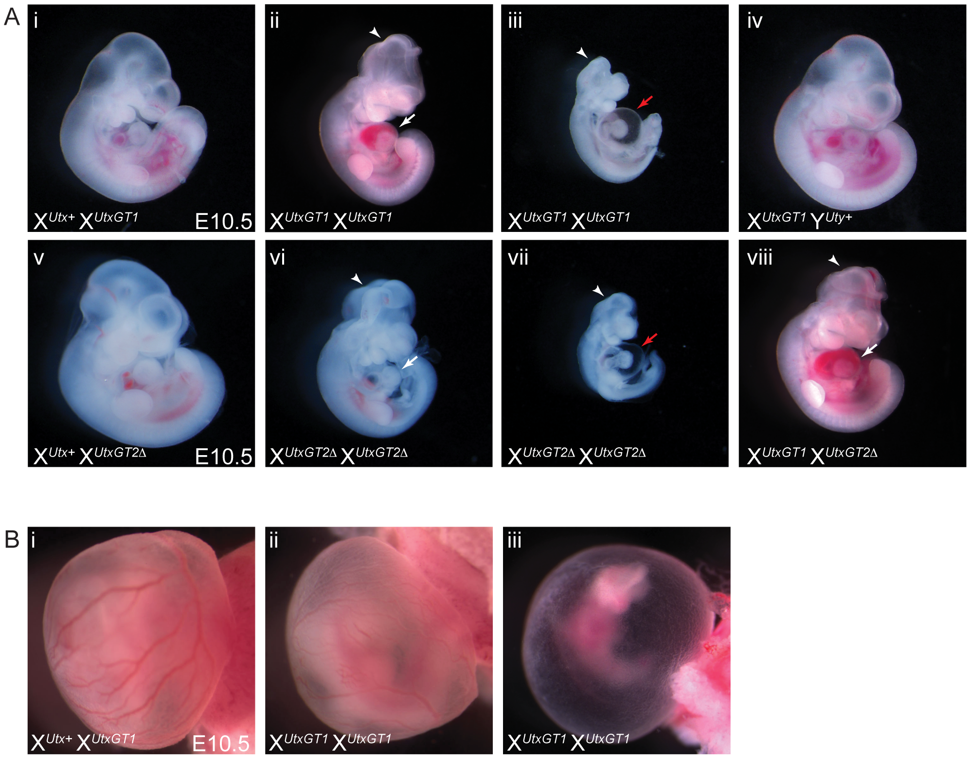 Homozygous female <i>Utx</i> mutant embryos have mid-gestational developmental delay.