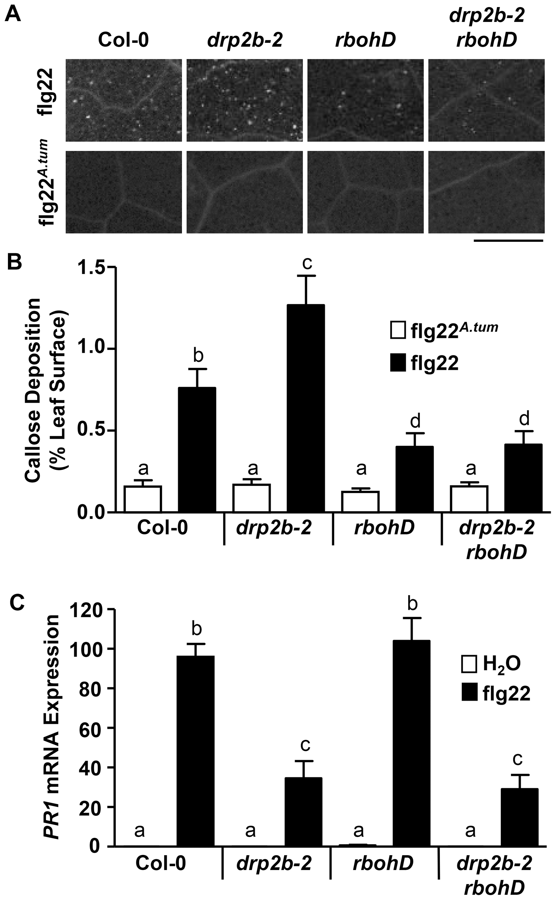 Loss of <i>DRP2B</i> affects late flg22-responses in a non-canonical manner.