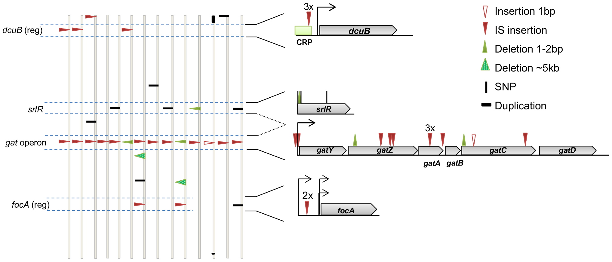 The genetic basis of adaptive mutations and the level of parallelism between populations.