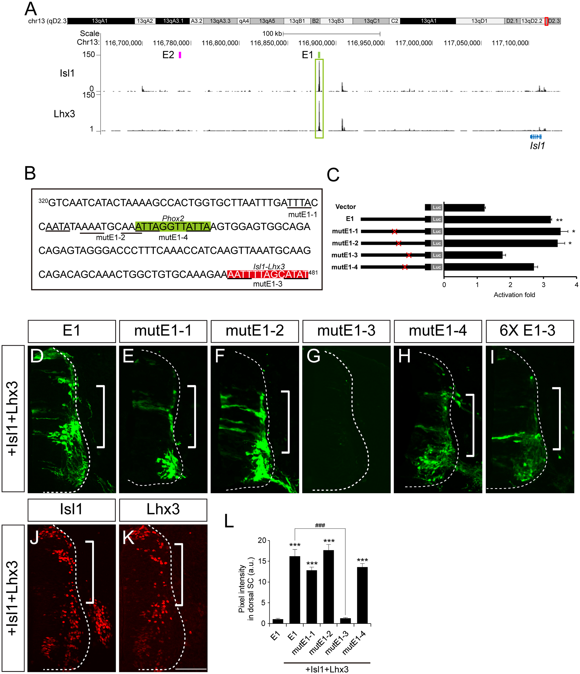 The Isl1-Lhx3 complex activates the E1 enhancer in somatic motor neurons.