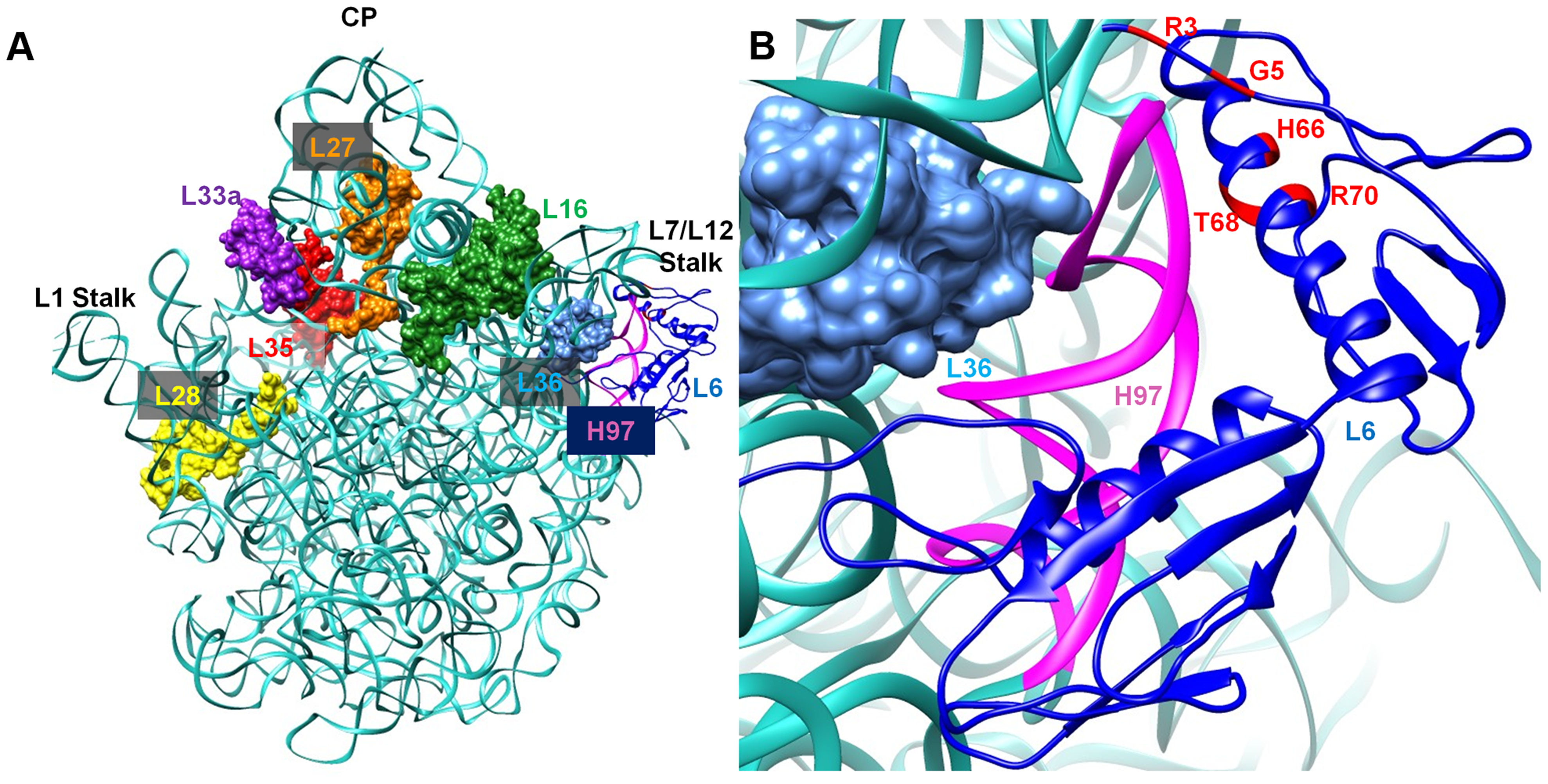 Interaction between L6 protein and the 50S ribosomal subunit.