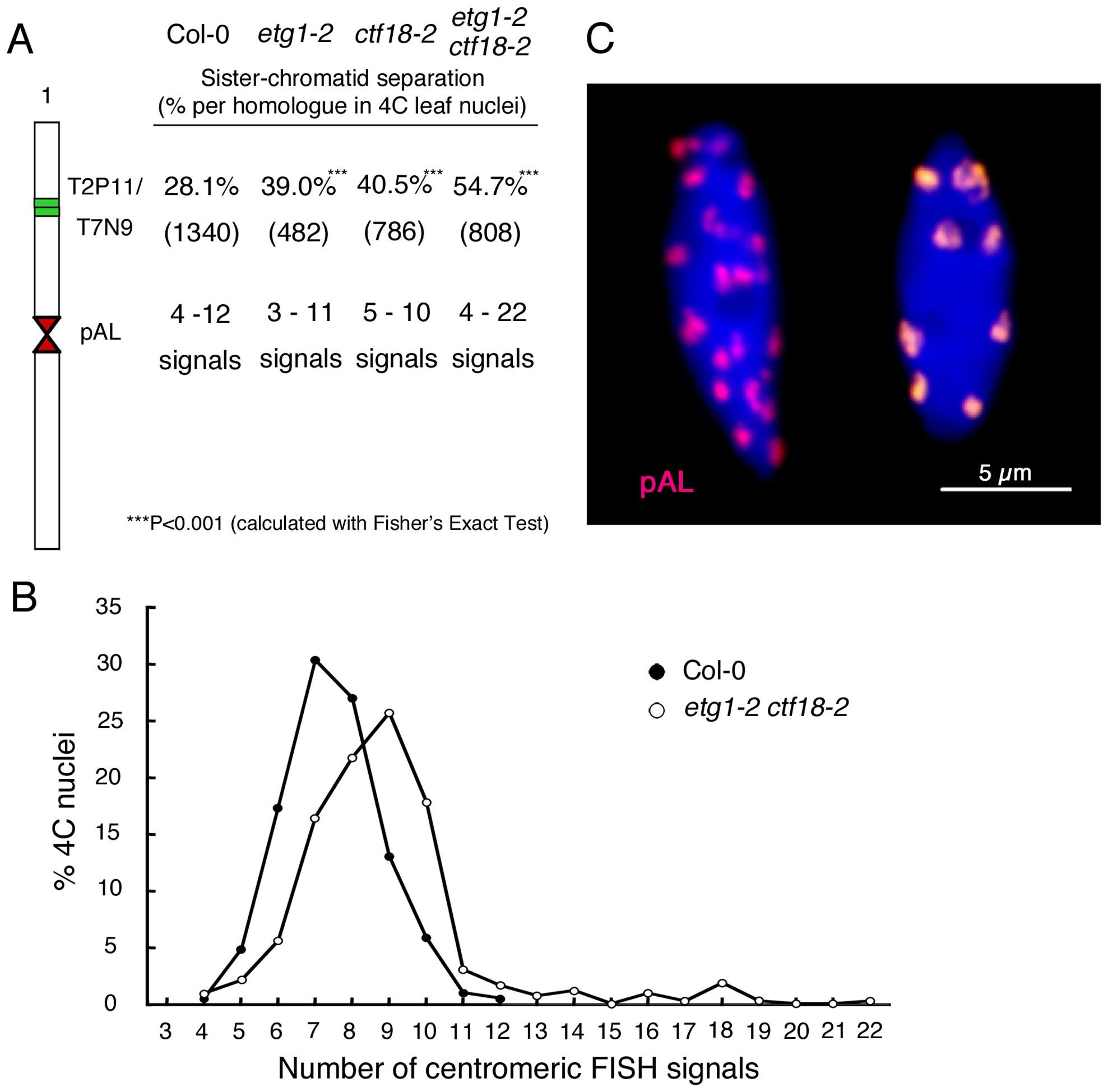 Synergistic effect of <i>etg1</i> and <i>ctf18</i> on sister chromatid cohesion in 4C leaf nuclei.