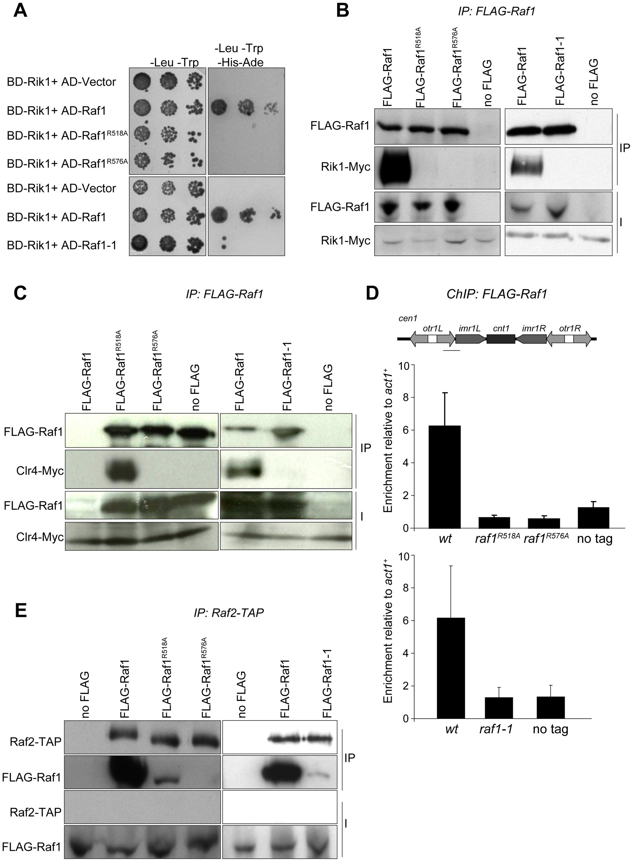 Raf1 mutations disrupt interaction with Rik1.