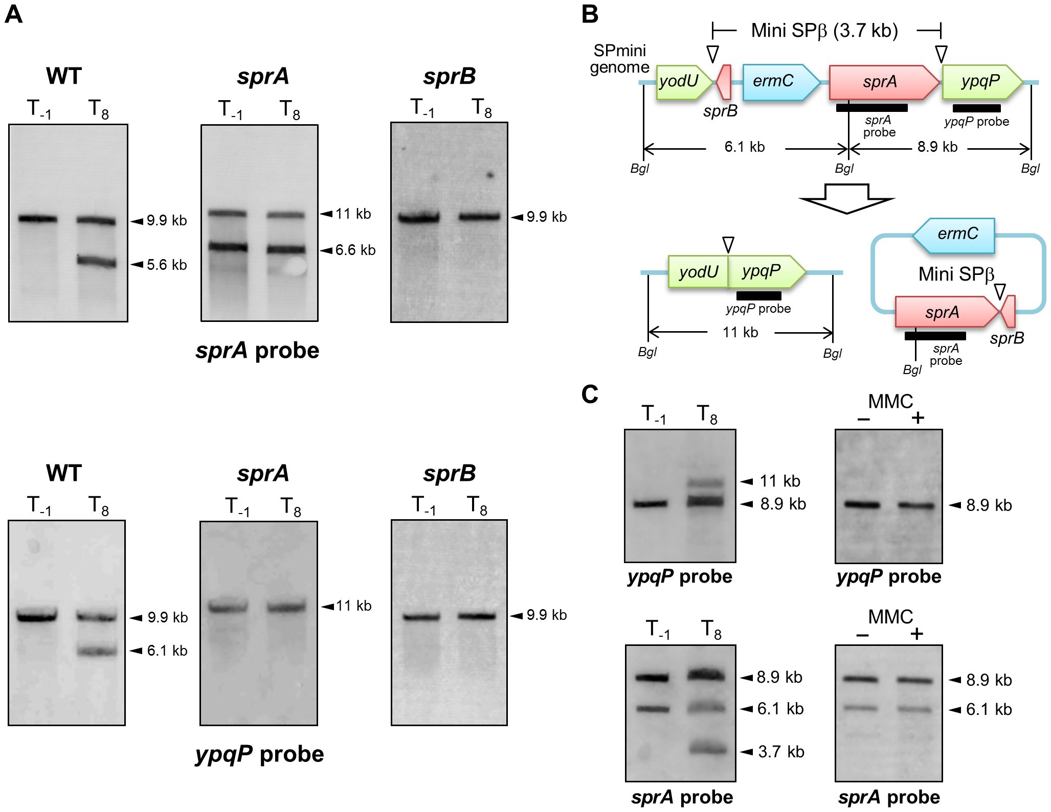 SPβ genes required for prophage excision.