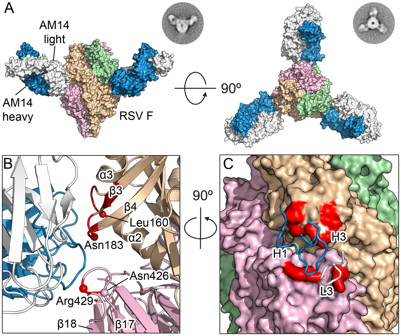 Structures of AM14 in complex with RSV F.