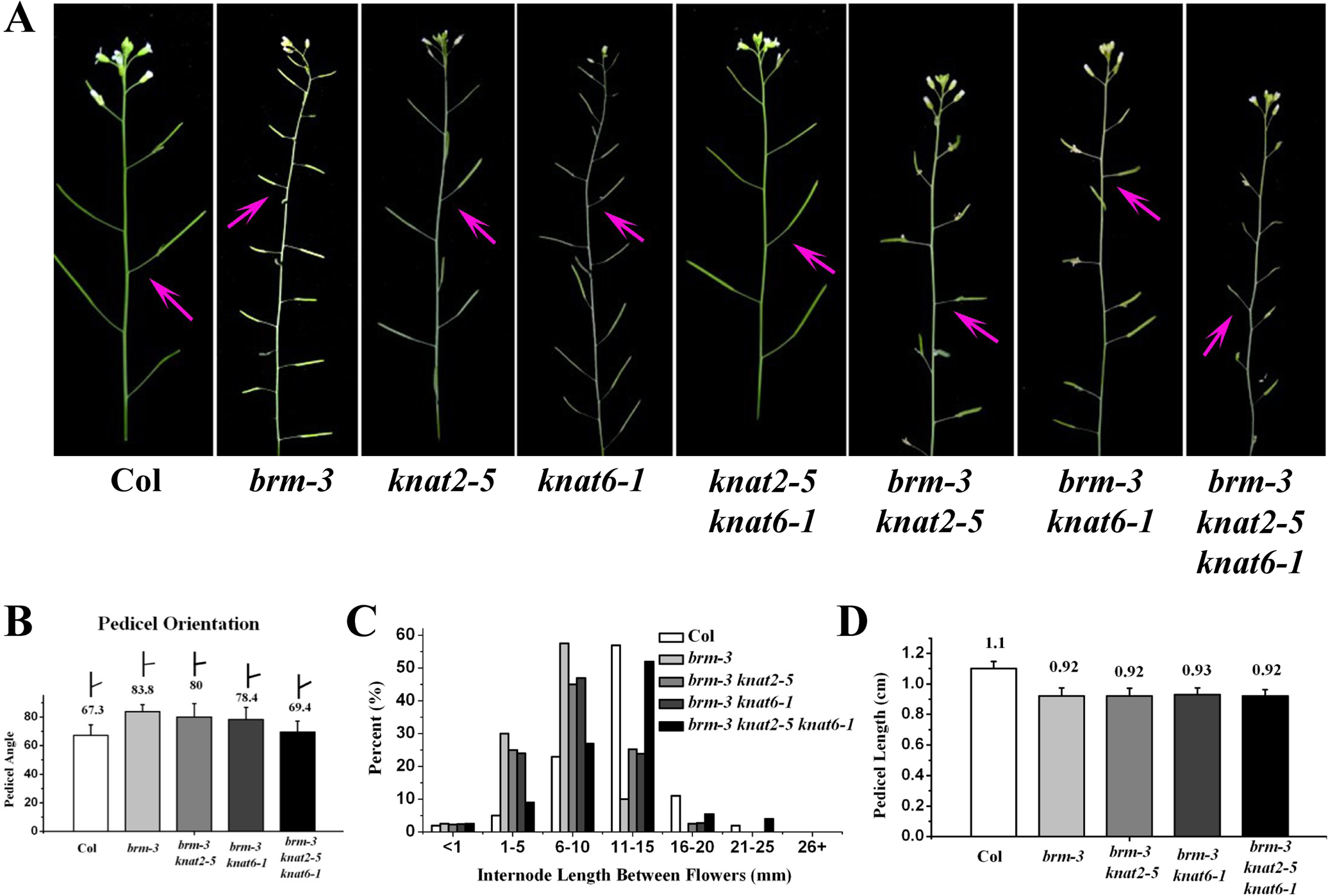 Removal of <i>KNAT2</i> and <i>KNAT6</i> rescues the <i>brm-3</i> phenotype in pedicel orientation and internode length.