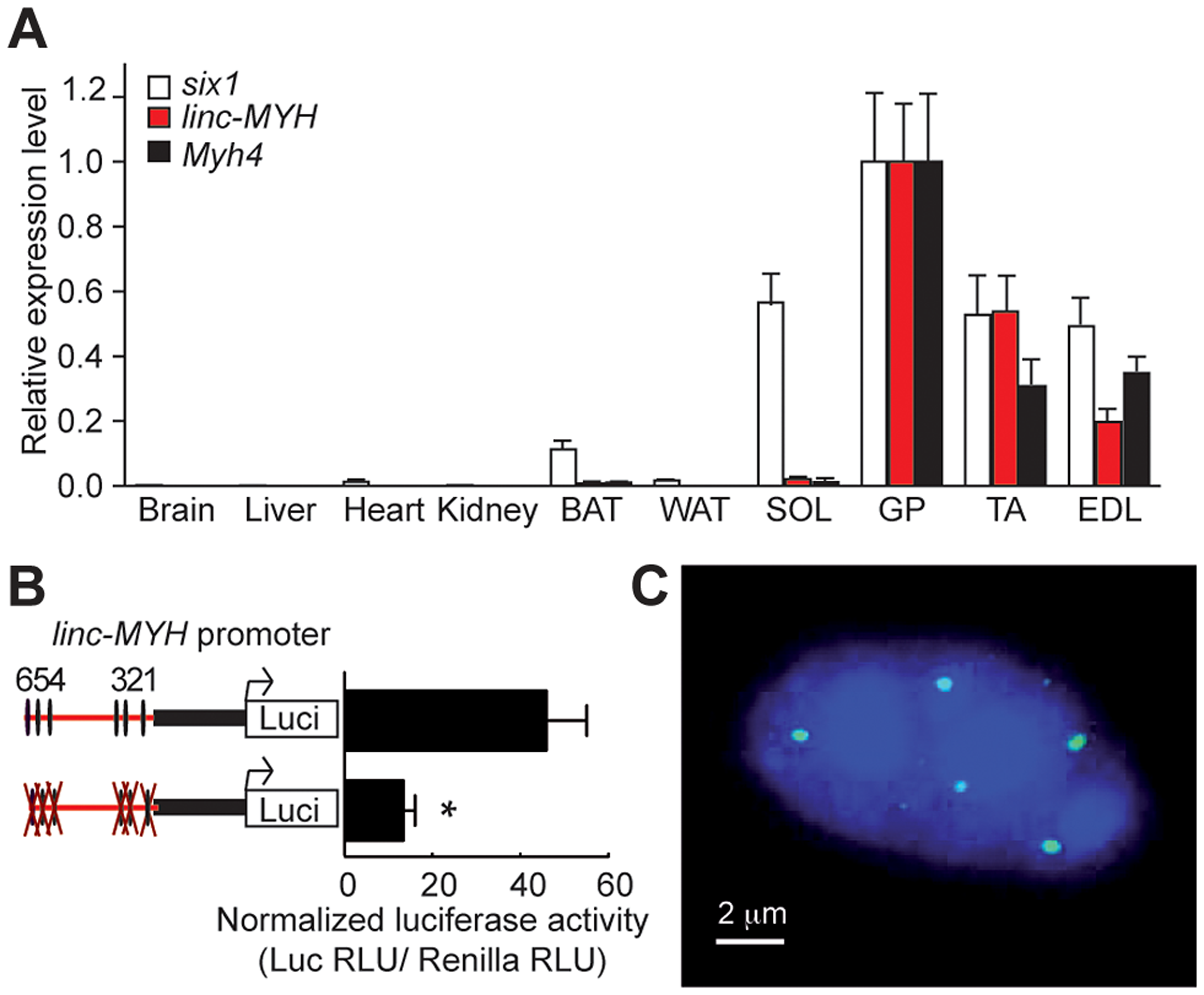 <i>linc-MYH</i> is expressed in adult fast-type skeletal muscles and accumulates in their nuclei.