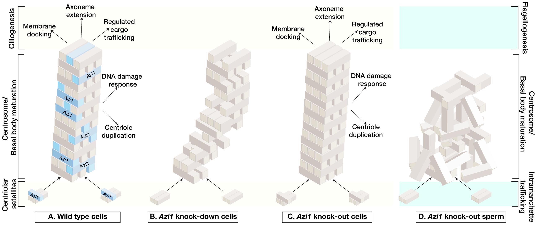 Model of acute versus chronic loss of mammalian <i>Azi1</i> results in distinct ciliary phenotypes.