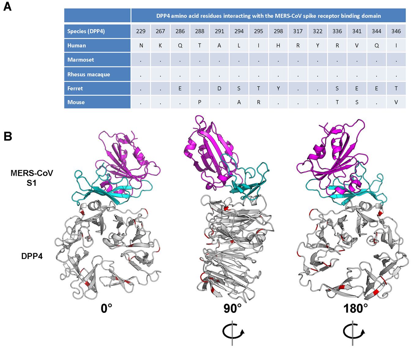 Interaction between the MERS-CoV spike glycoprotein (S1) and its receptor dipeptidyl peptidase 4 (DPP4).