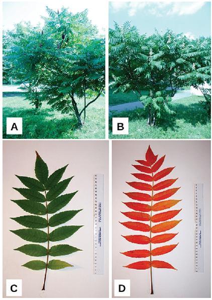 Habitus Rhus hirta (L.) Sudw. A – samičí rostlina s čerstvě dozrálými i loňskými plodenstvími, B – samčí rostlina s málo kompaktními odkvétajícími květenstvími; morfologická stavba listu – složený, lichozpeřený, mnohojařmý list, C – zbarvení listu v létě (červenec), D – zbarvení listu na podzim (říjen) (foto autoři)