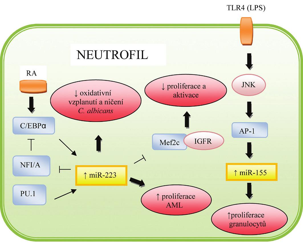 Role miRNA v regulaci hematopoézy a imunitní odpovědi neutrofilů